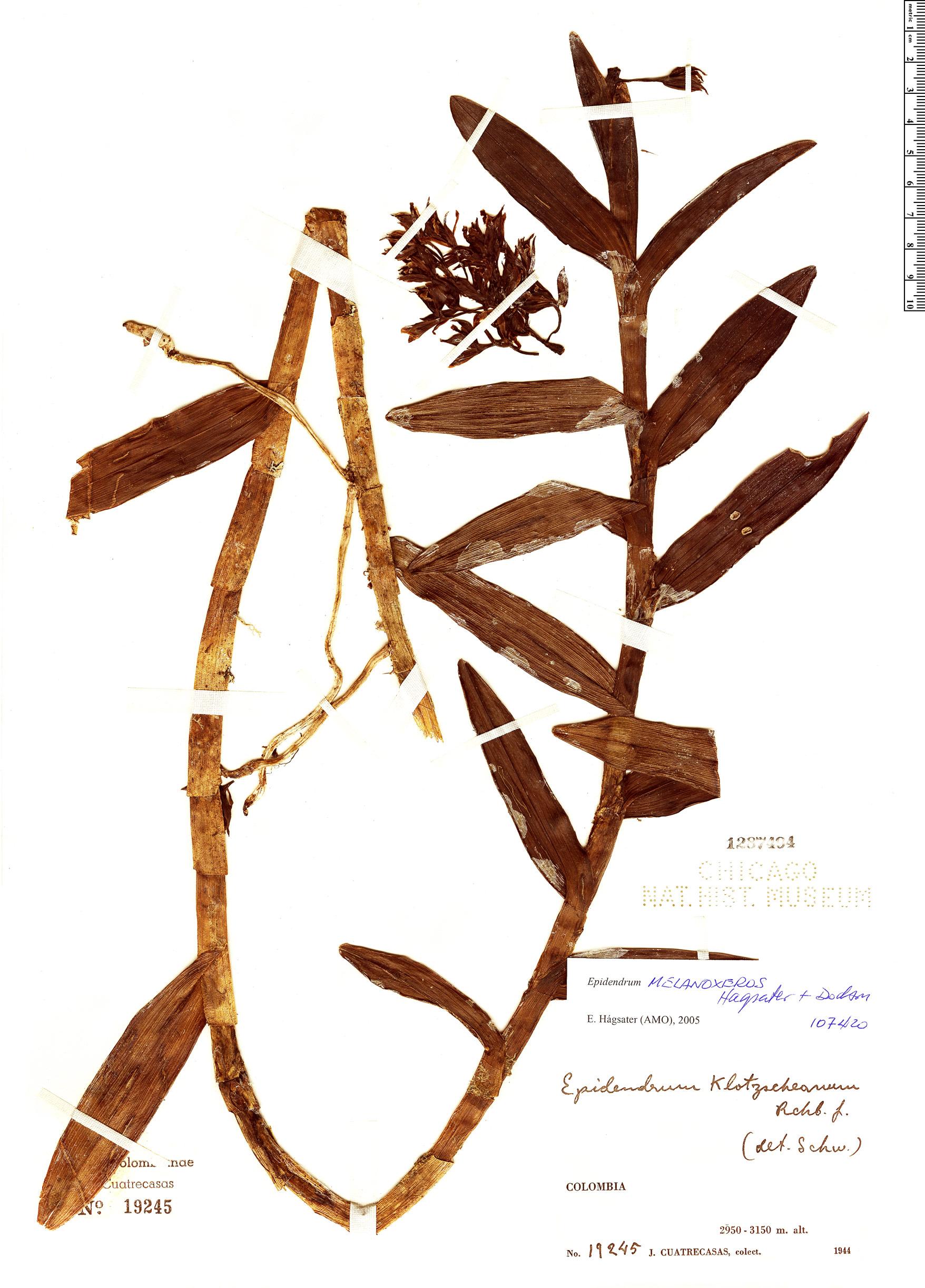 Specimen: Epidendrum melanoxeros