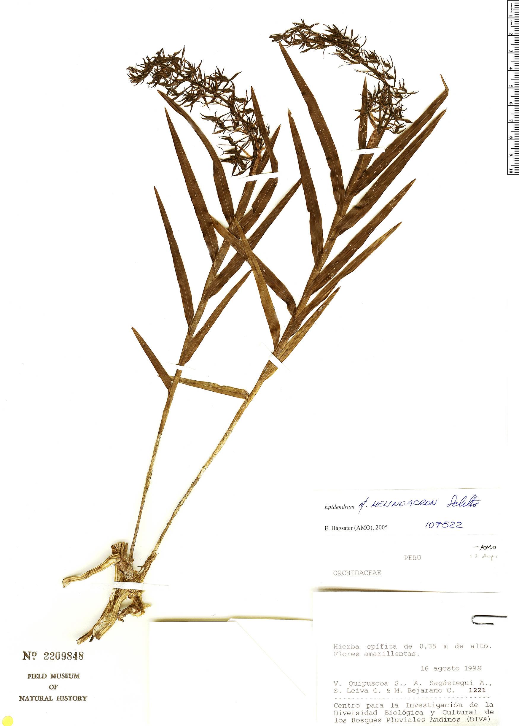Specimen: Epidendrum melinoacron