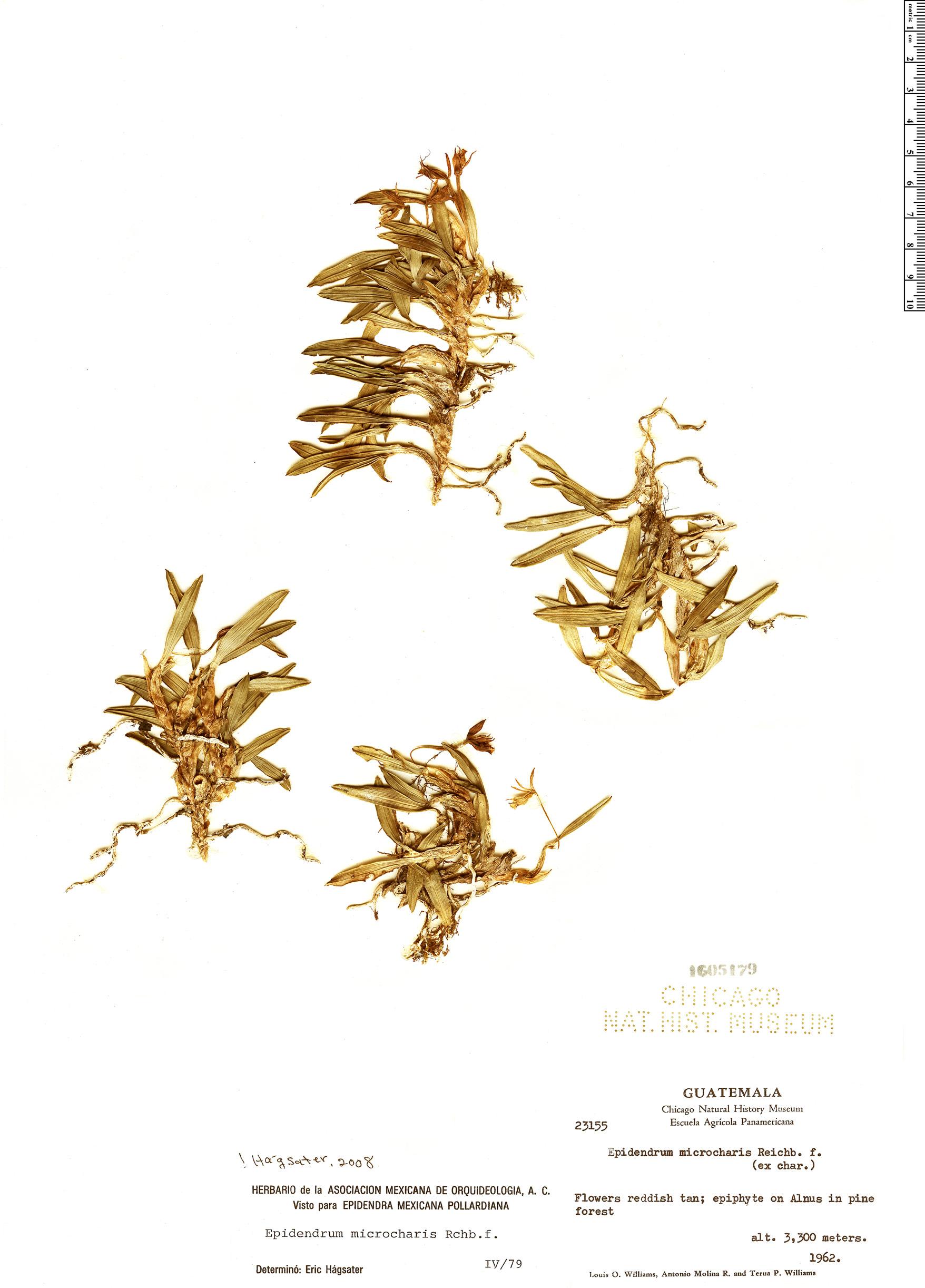 Specimen: Epidendrum microcharis