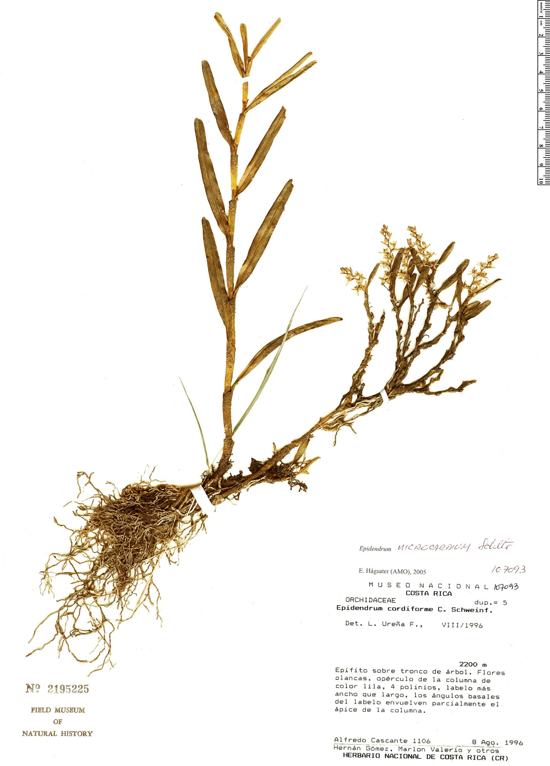Specimen: Epidendrum microcardium