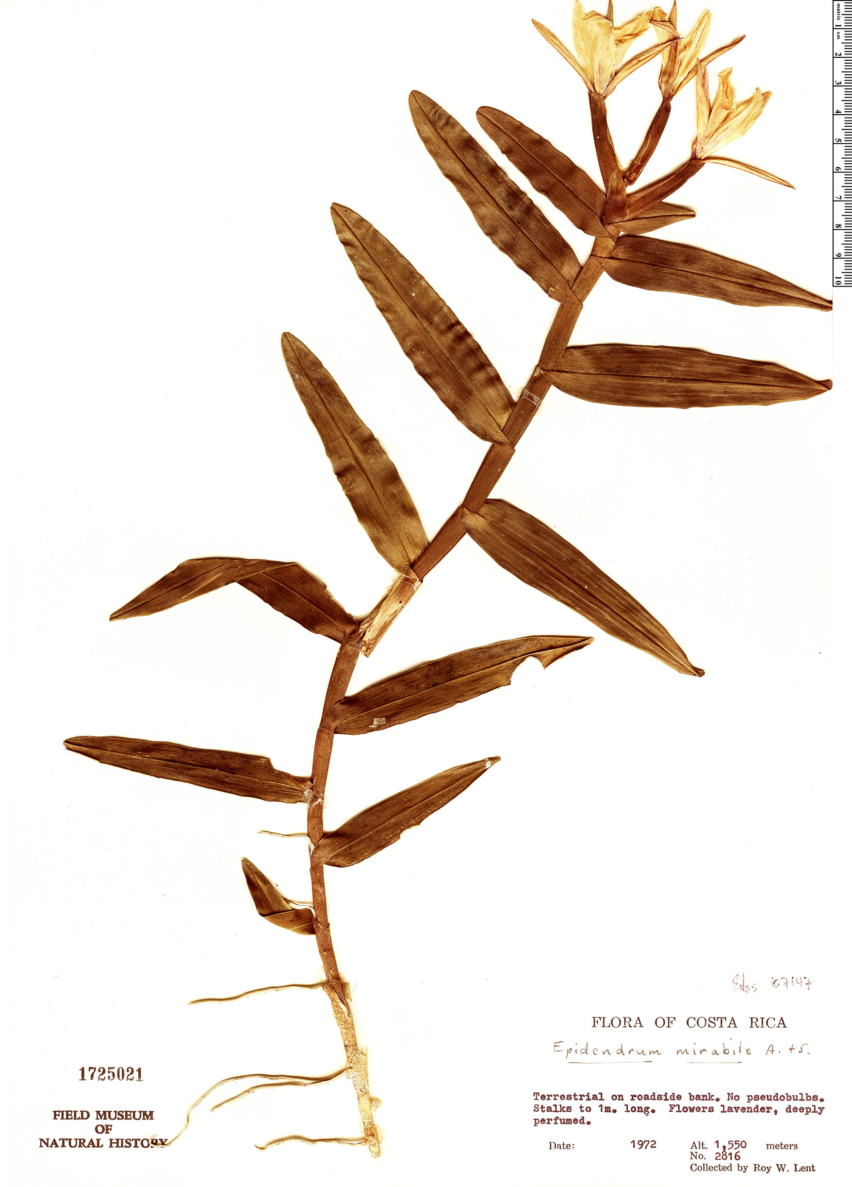 Espécimen: Epidendrum mirabile