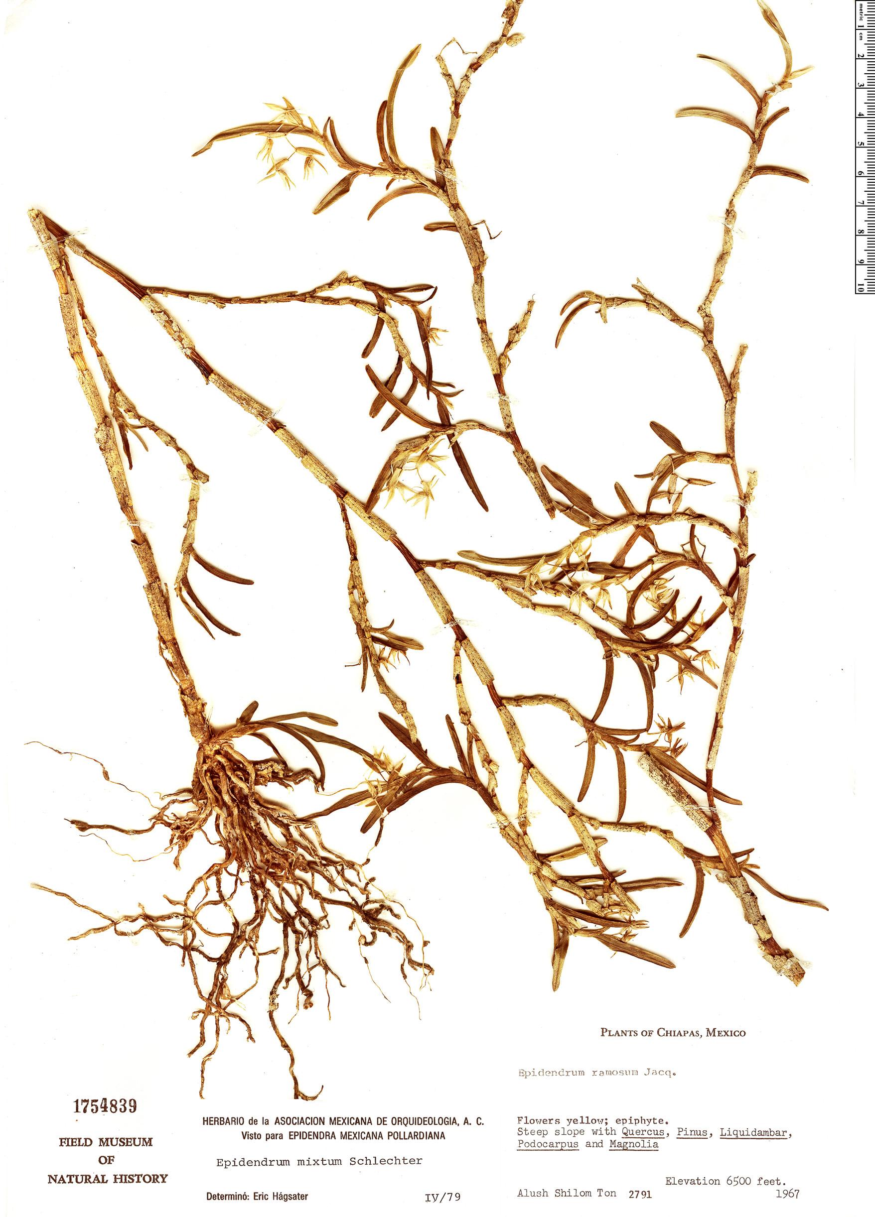 Specimen: Epidendrum mixtum