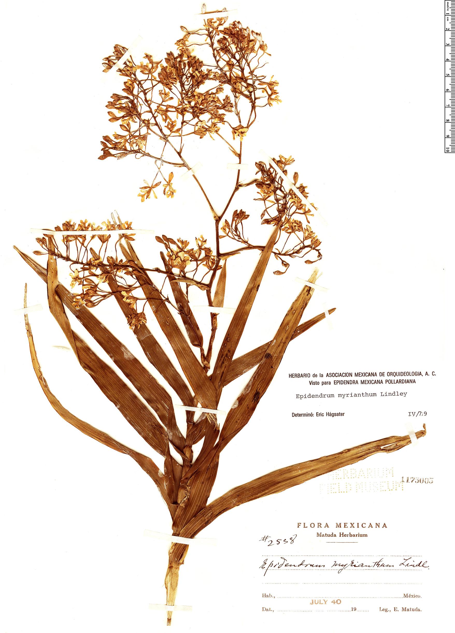Specimen: Epidendrum verrucosum