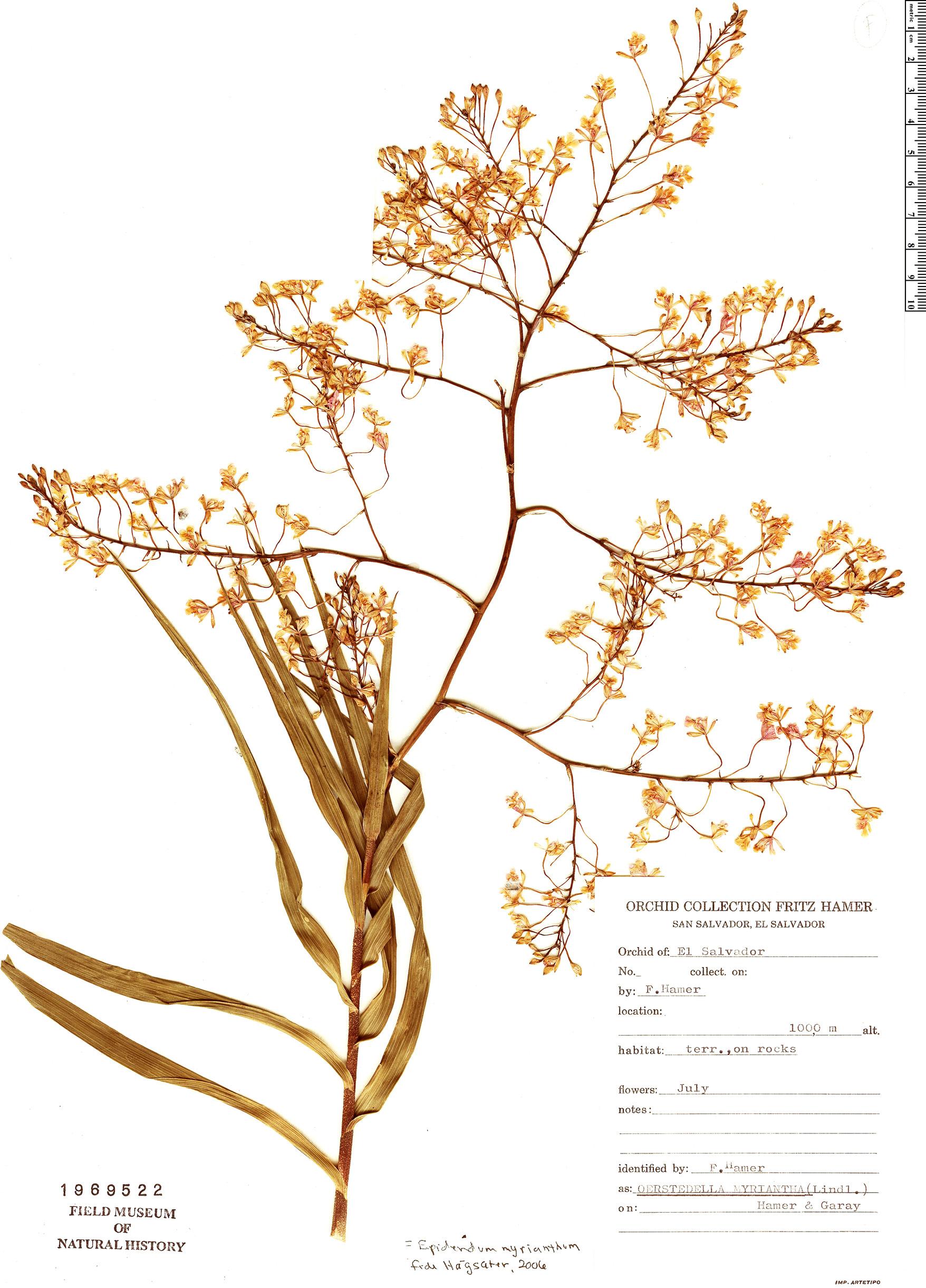 Specimen: Epidendrum myrianthum