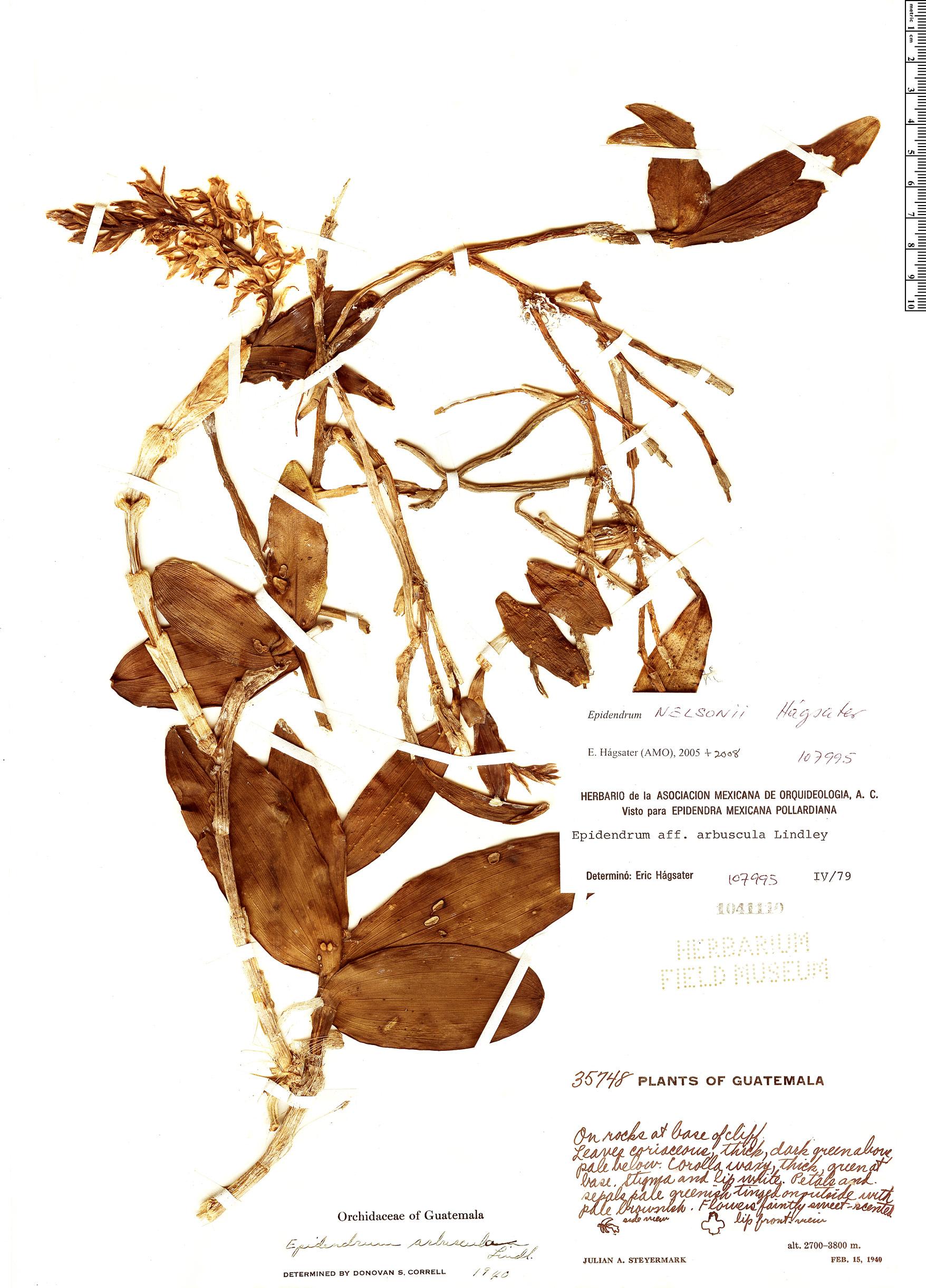 Specimen: Epidendrum nelsonii
