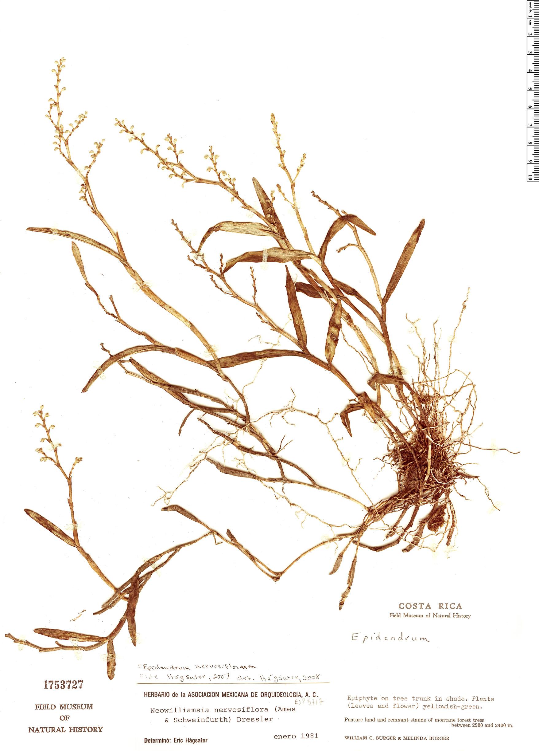 Specimen: Epidendrum nervosiflorum