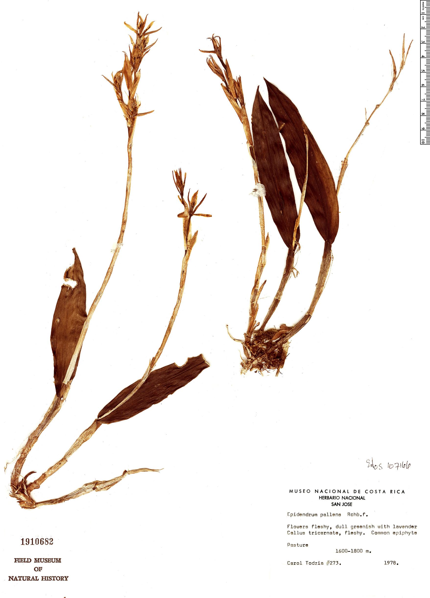 Espécime: Epidendrum pallens