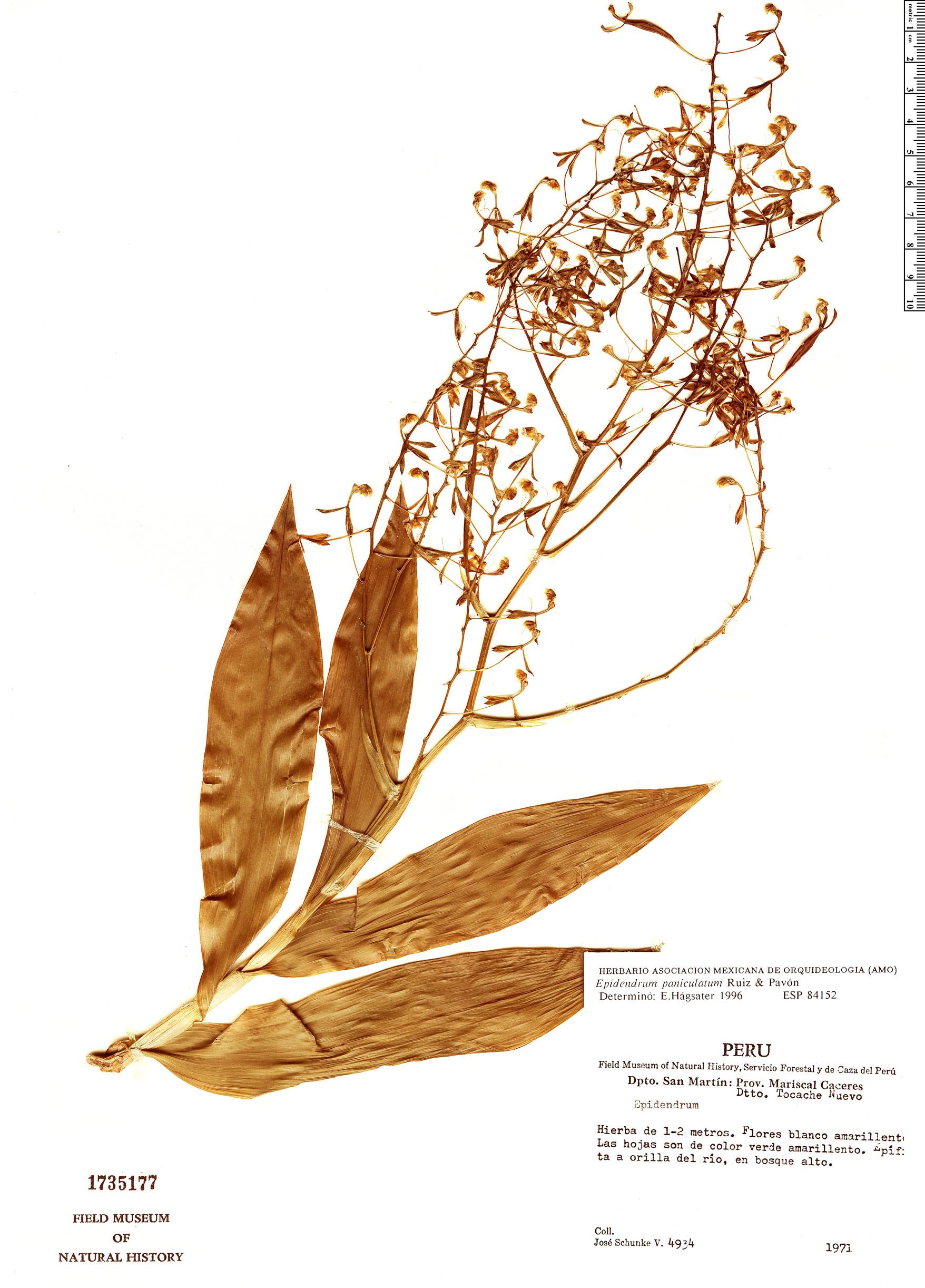Specimen: Epidendrum paniculatum