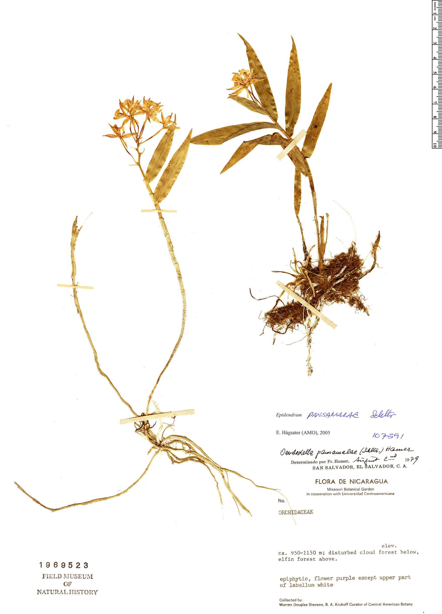 Specimen: Epidendrum pansamalae