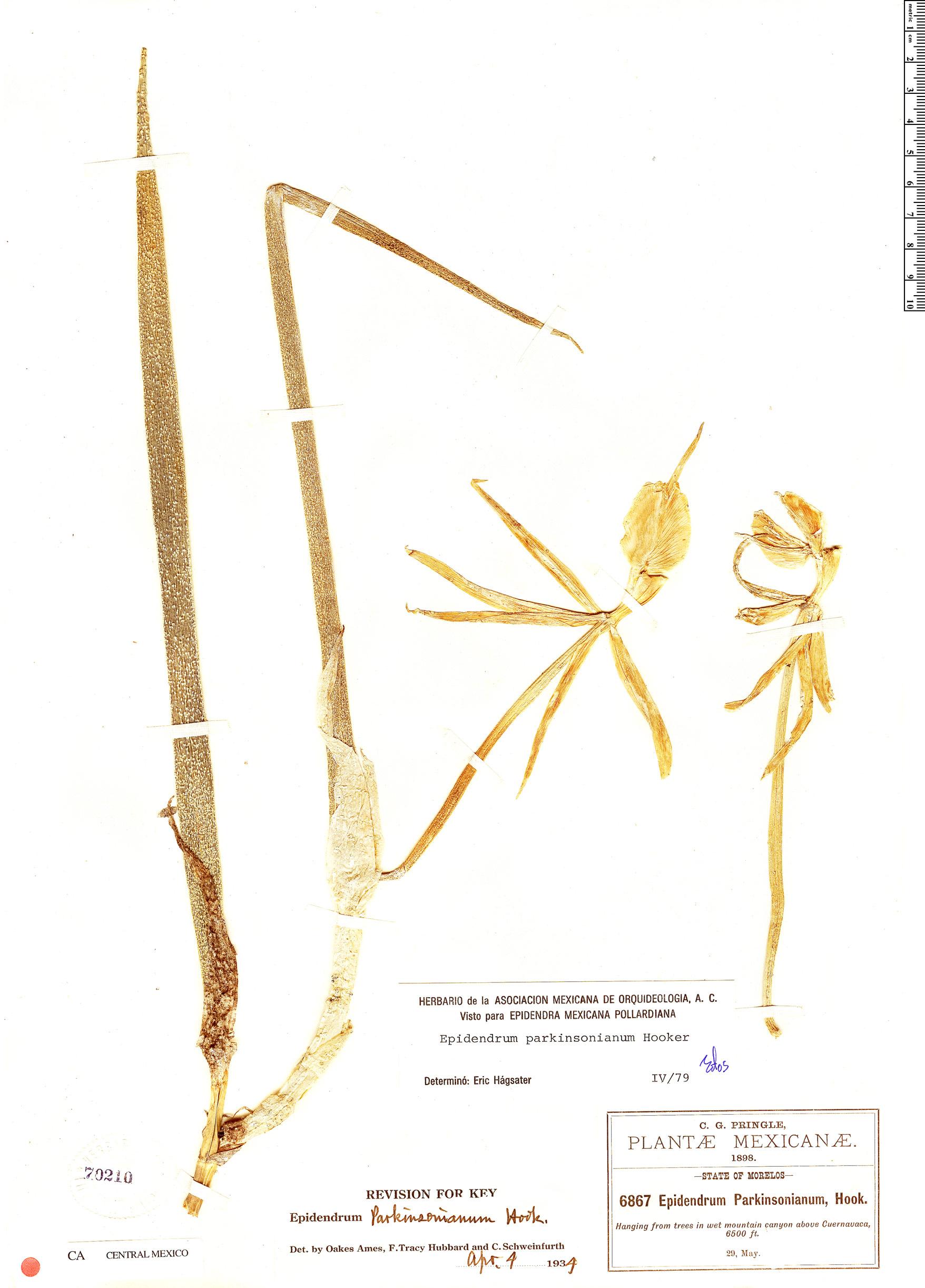 Specimen: Epidendrum parkinsonianum
