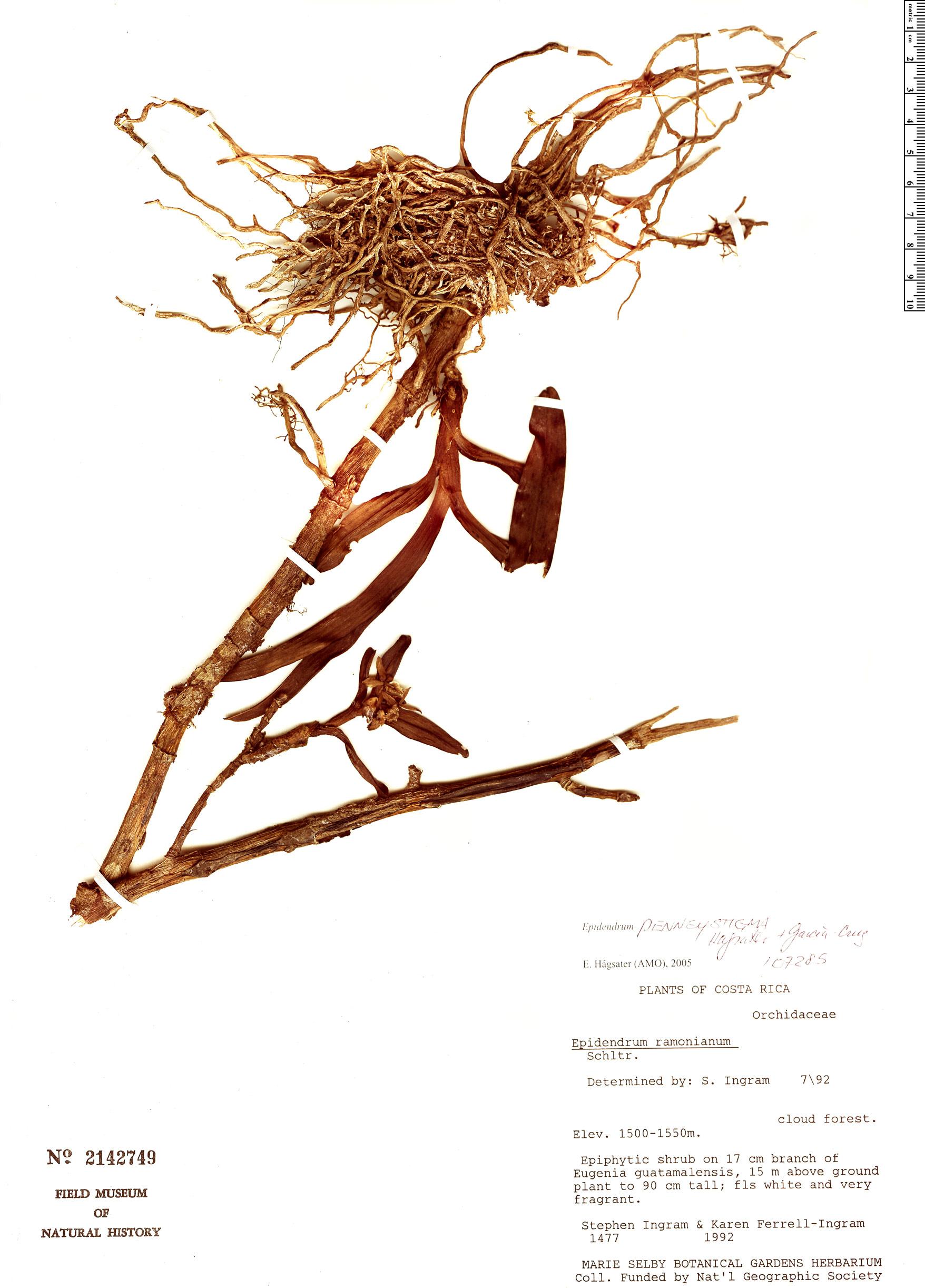 Specimen: Epidendrum penneystigma