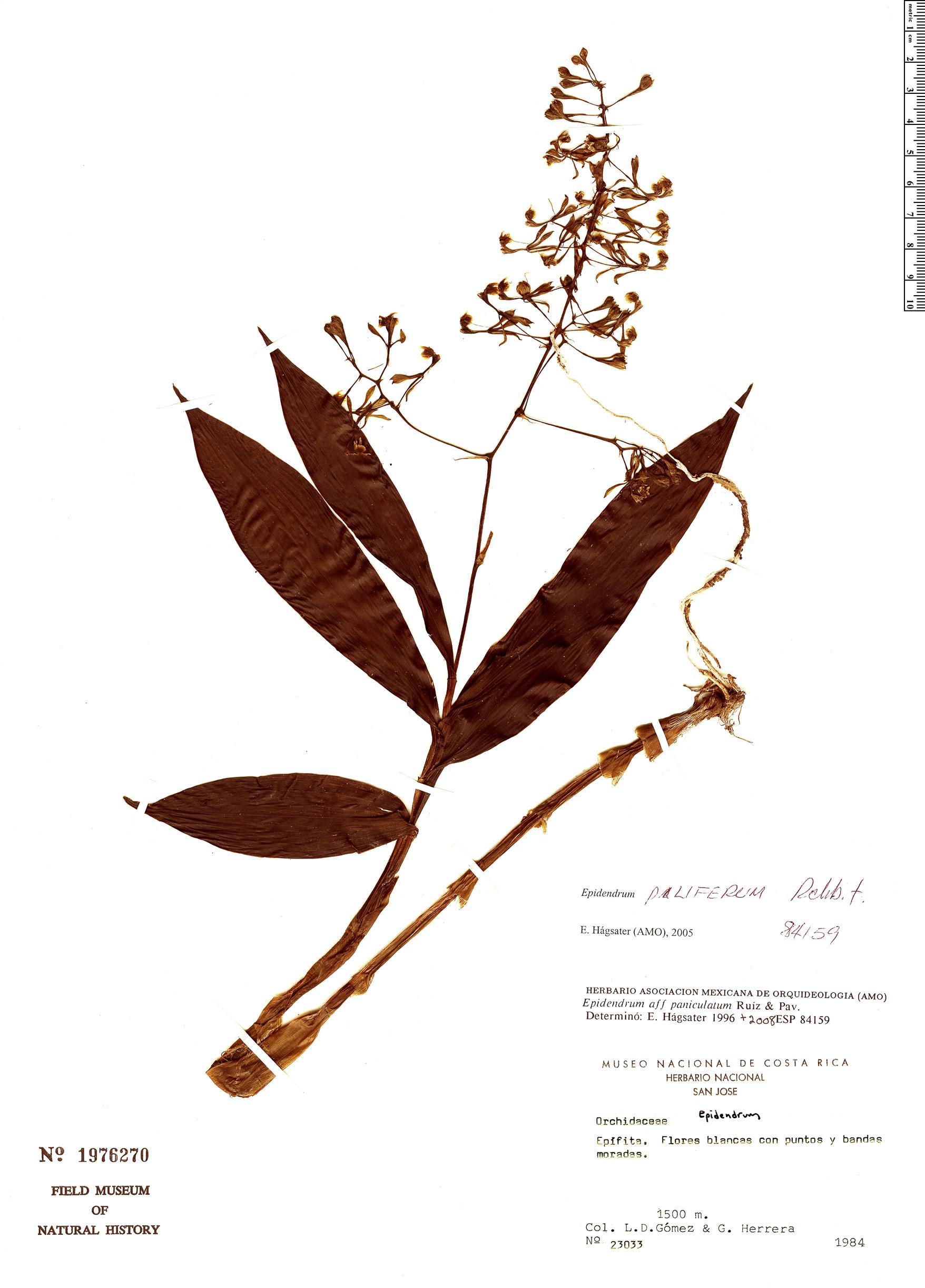 Specimen: Epidendrum piliferum