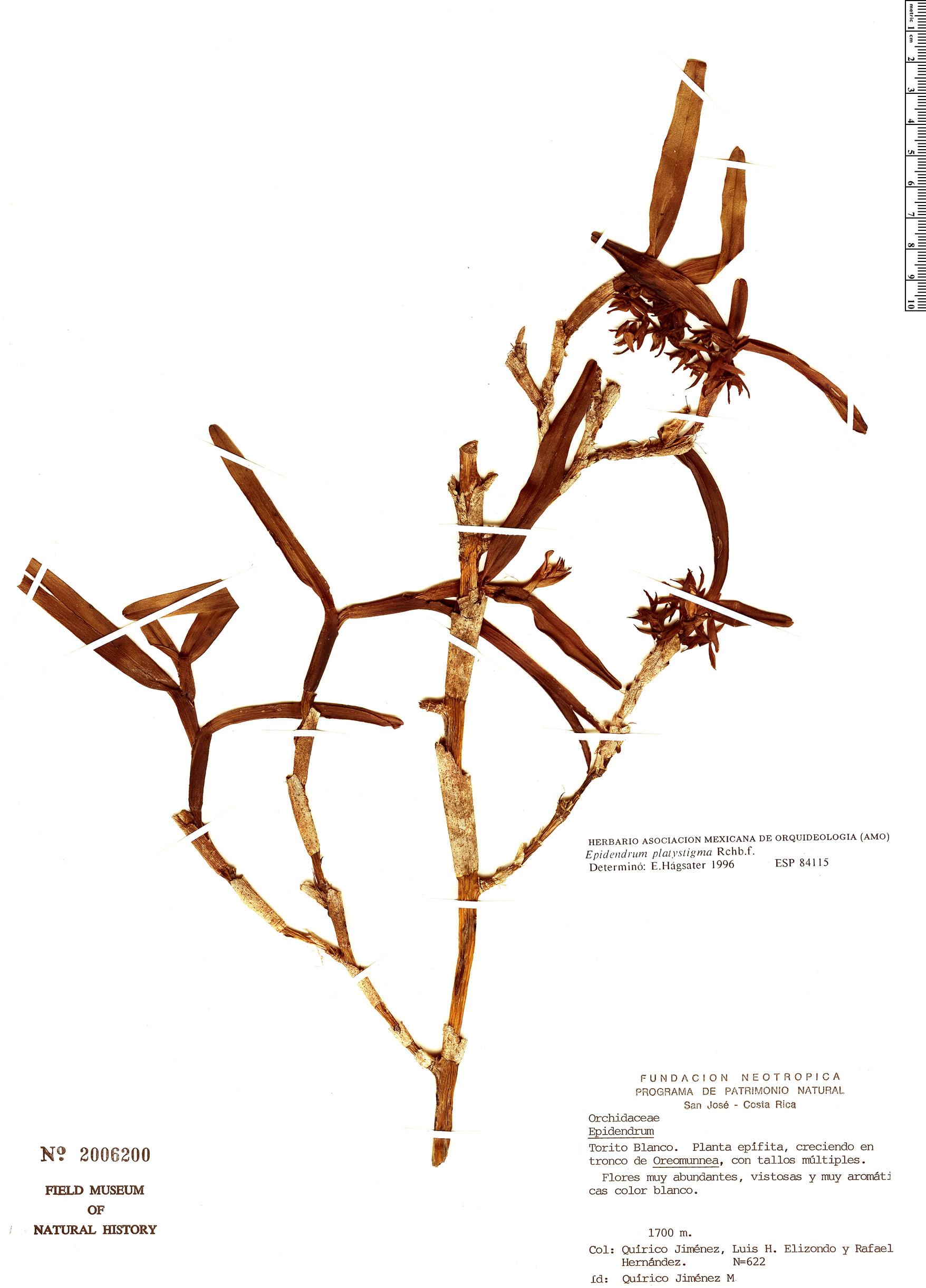 Specimen: Epidendrum platystigma