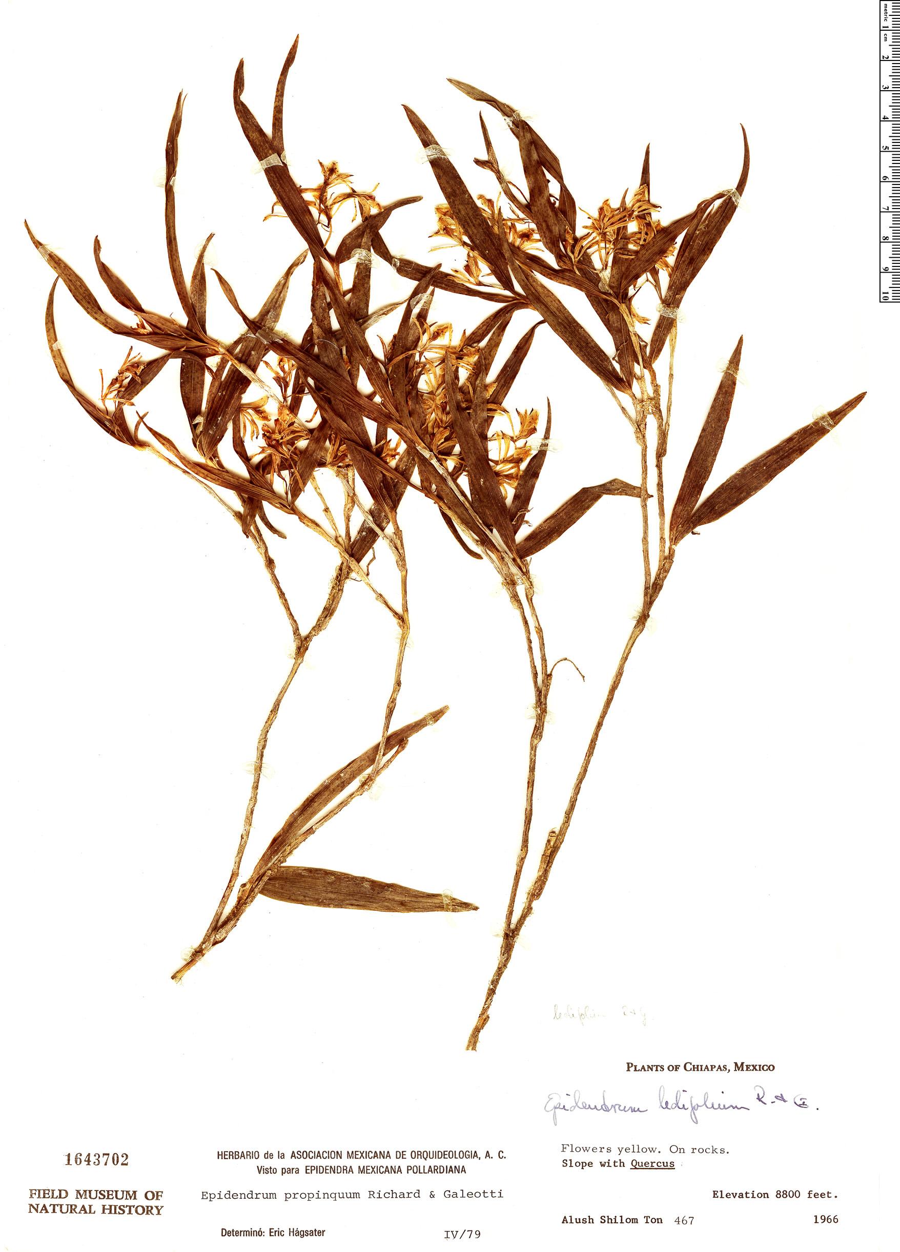 Espécimen: Epidendrum propinquum