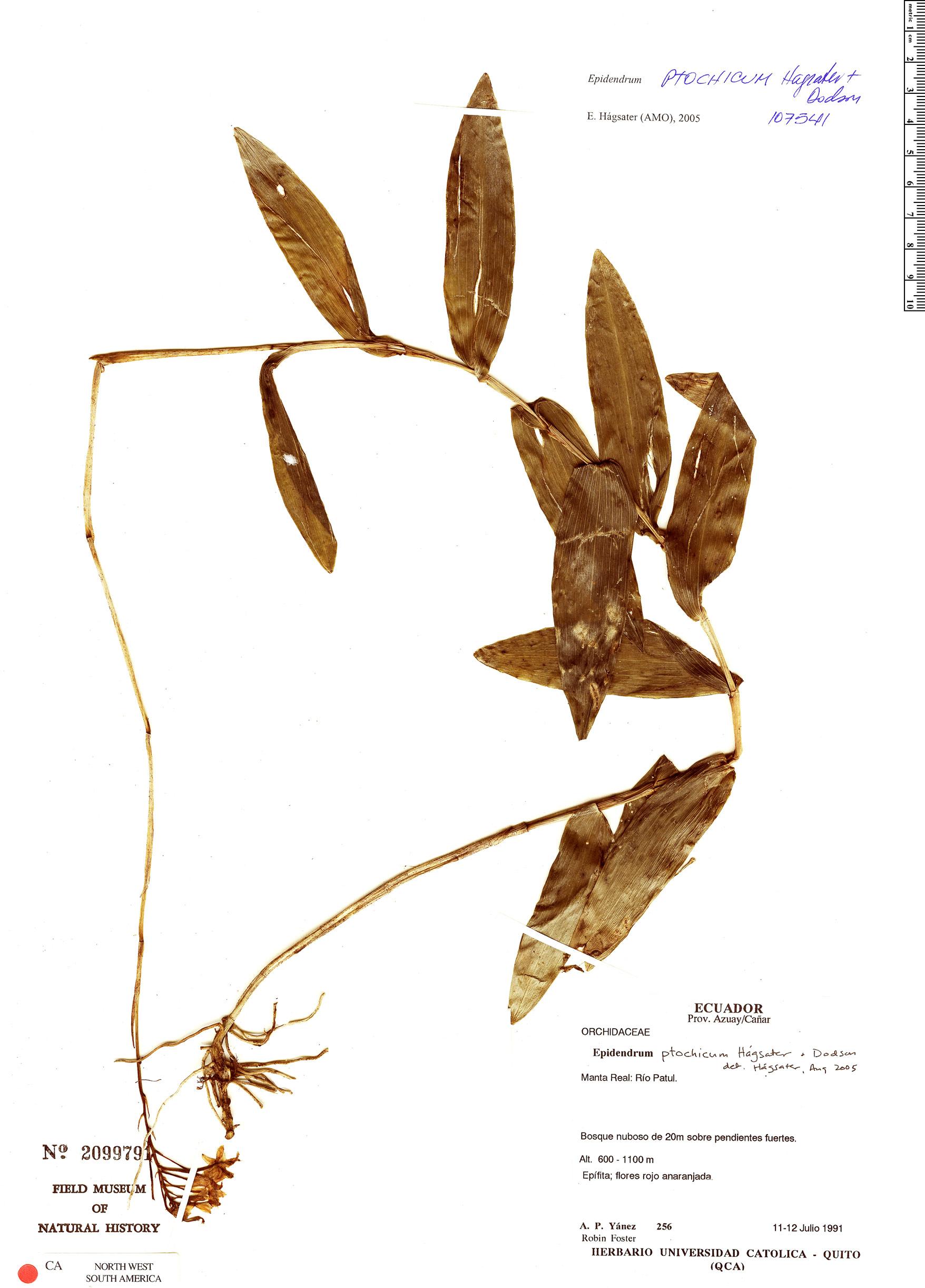 Espécime: Epidendrum ptochicum