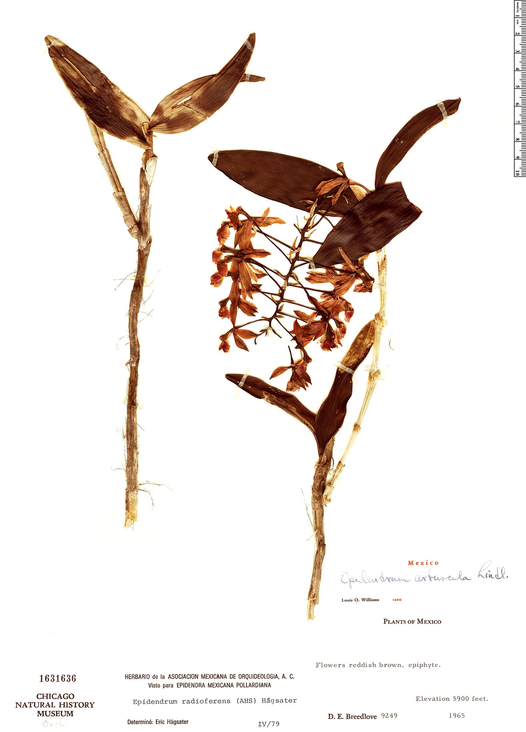Specimen: Epidendrum radioferens