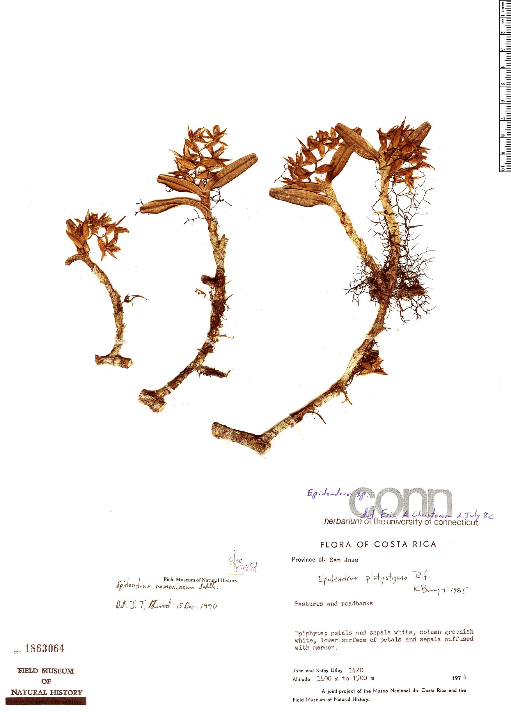 Specimen: Epidendrum ramonianum