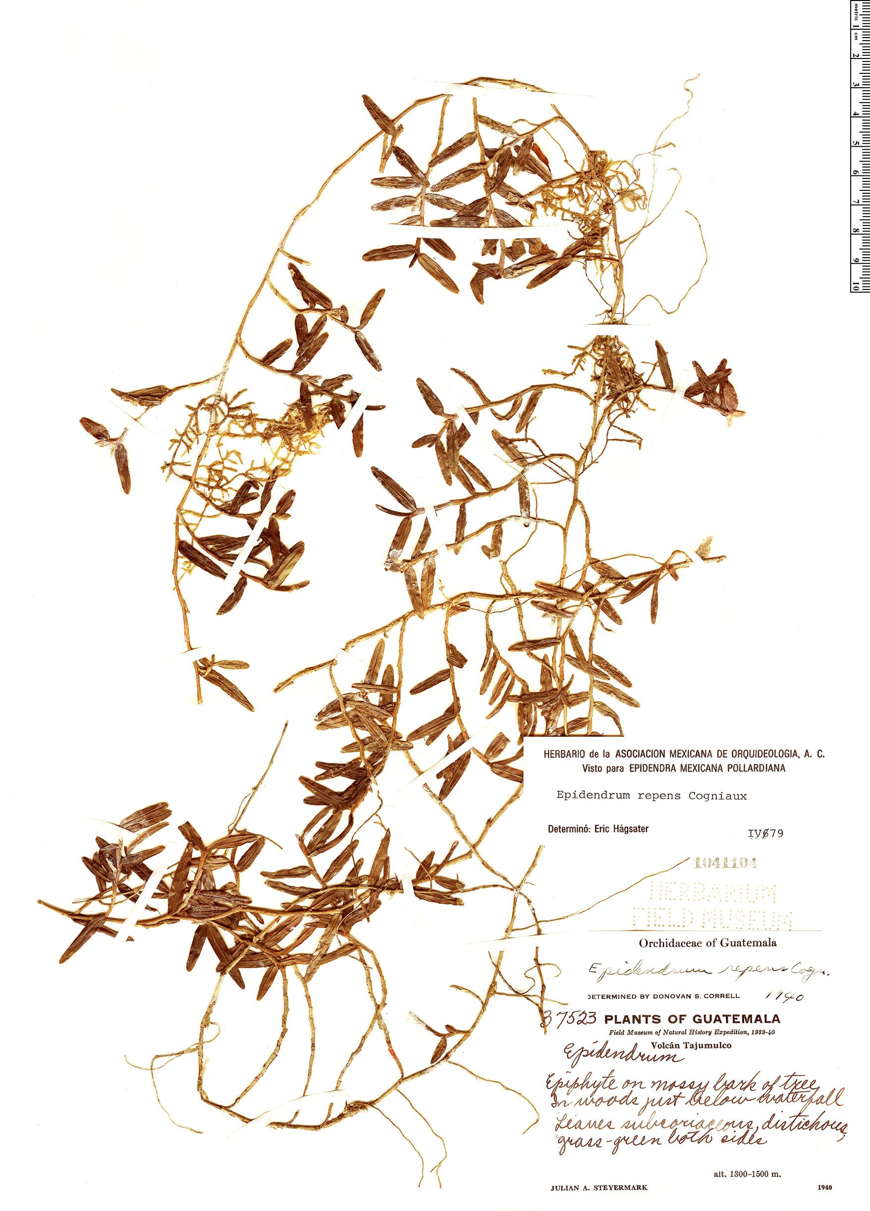 Specimen: Epidendrum repens