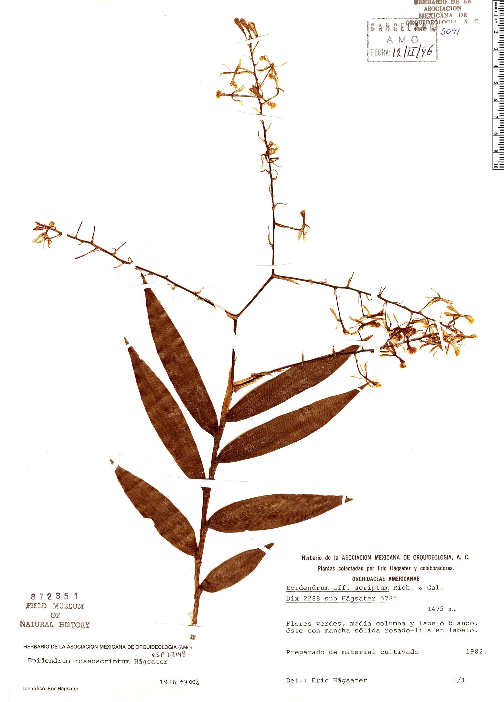 Specimen: Epidendrum roseoscriptum