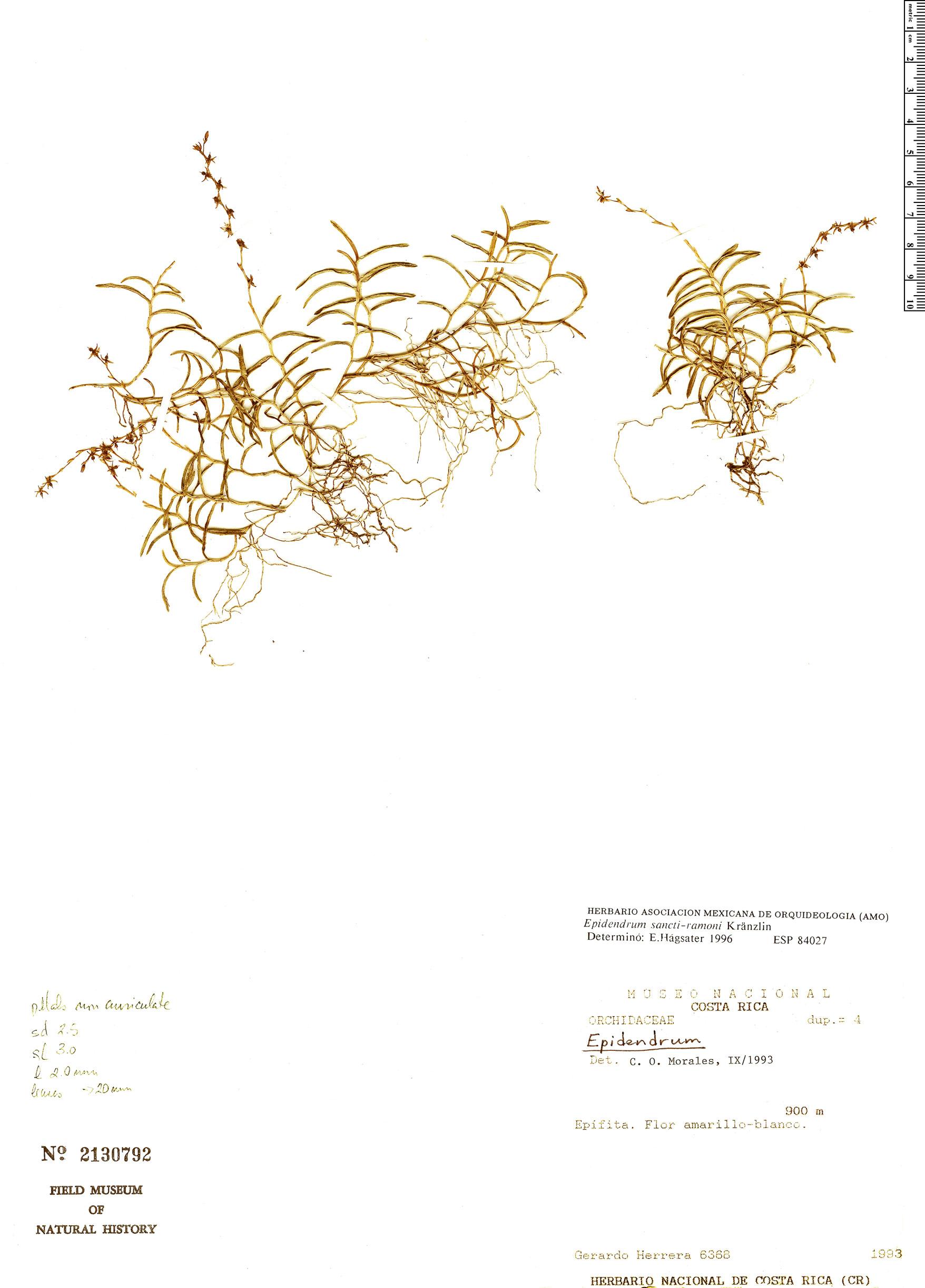 Specimen: Epidendrum sancti-ramoni