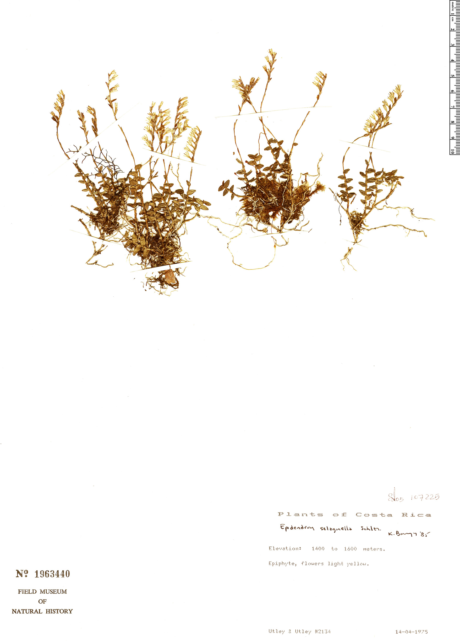 Specimen: Epidendrum selaginella