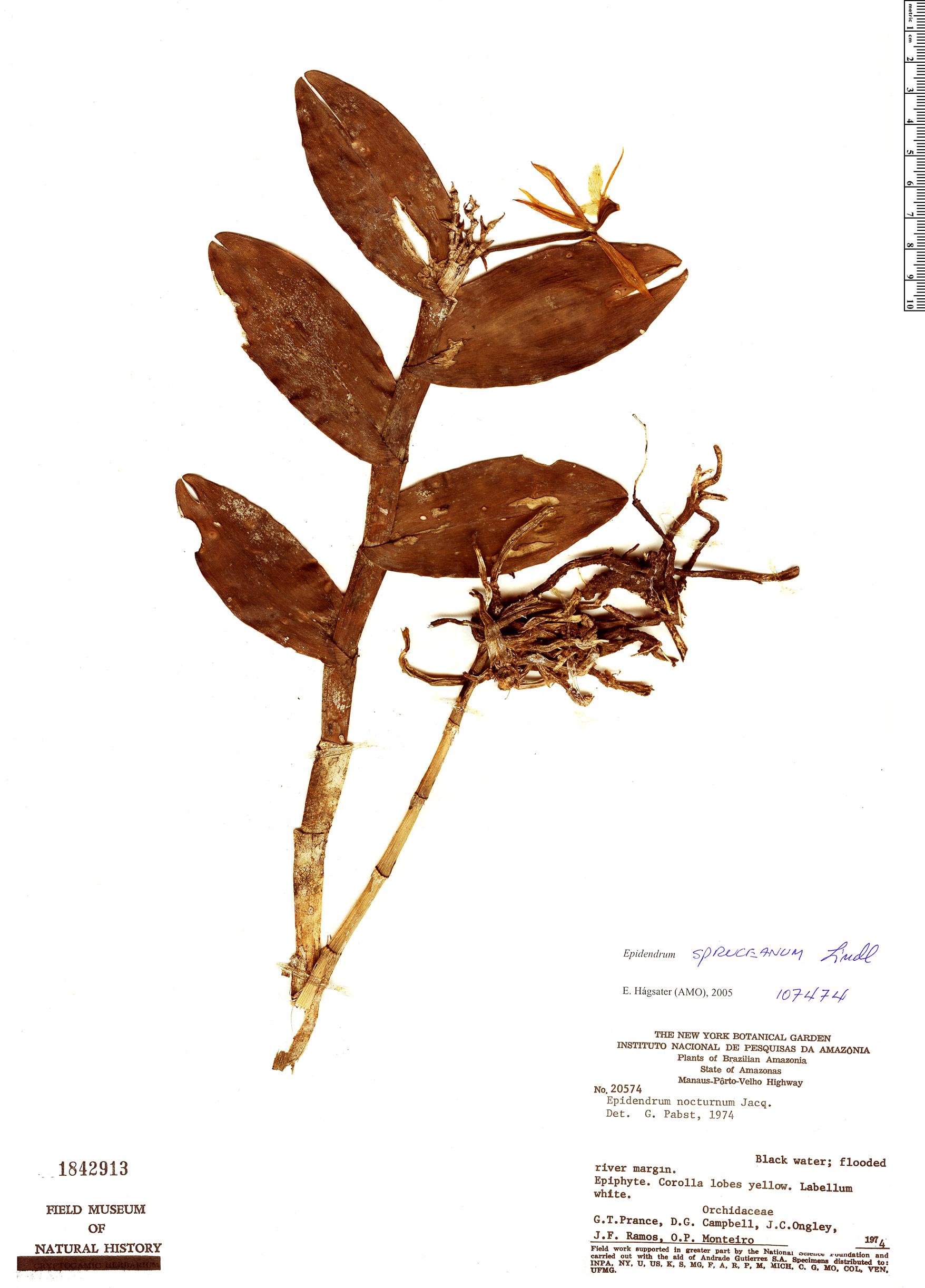Specimen: Epidendrum spruceanum