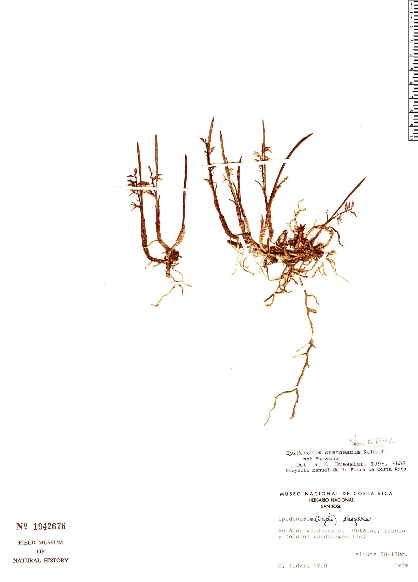 Specimen: Epidendrum stangeanum