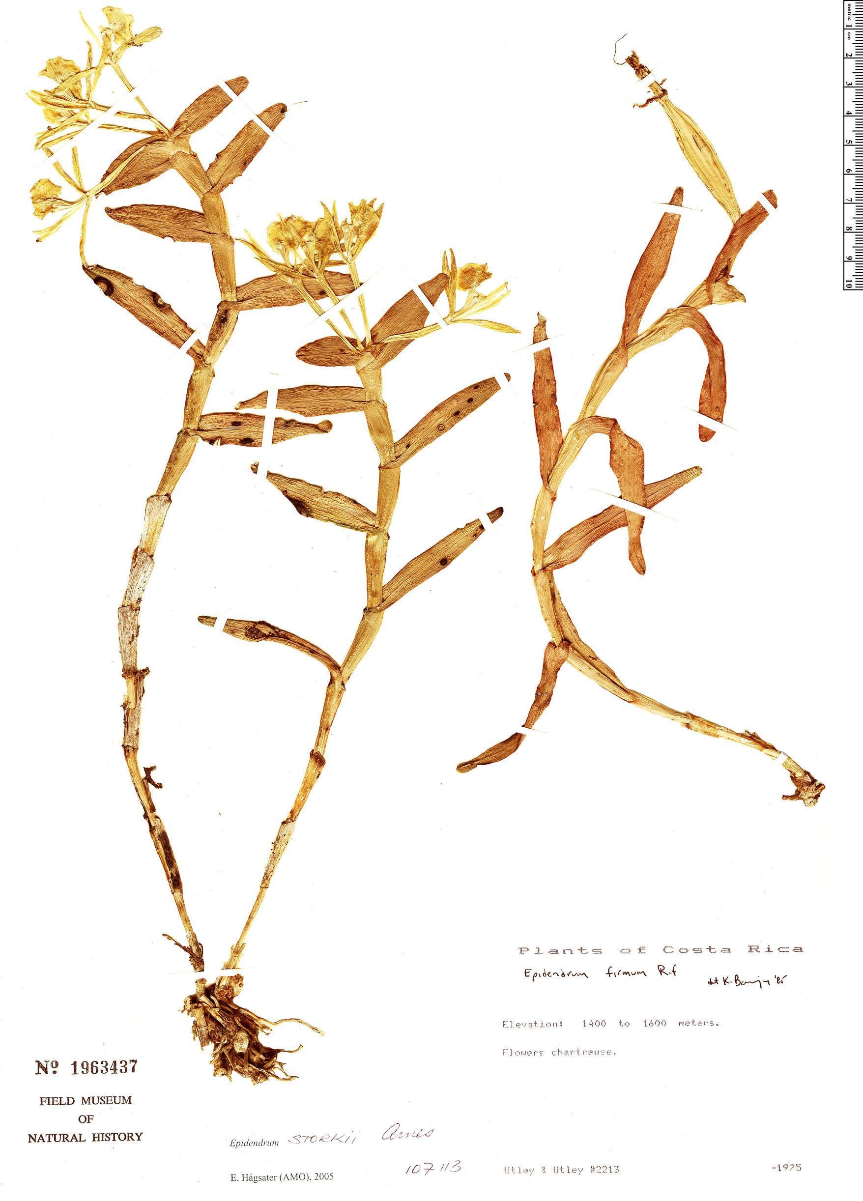 Specimen: Epidendrum storkii