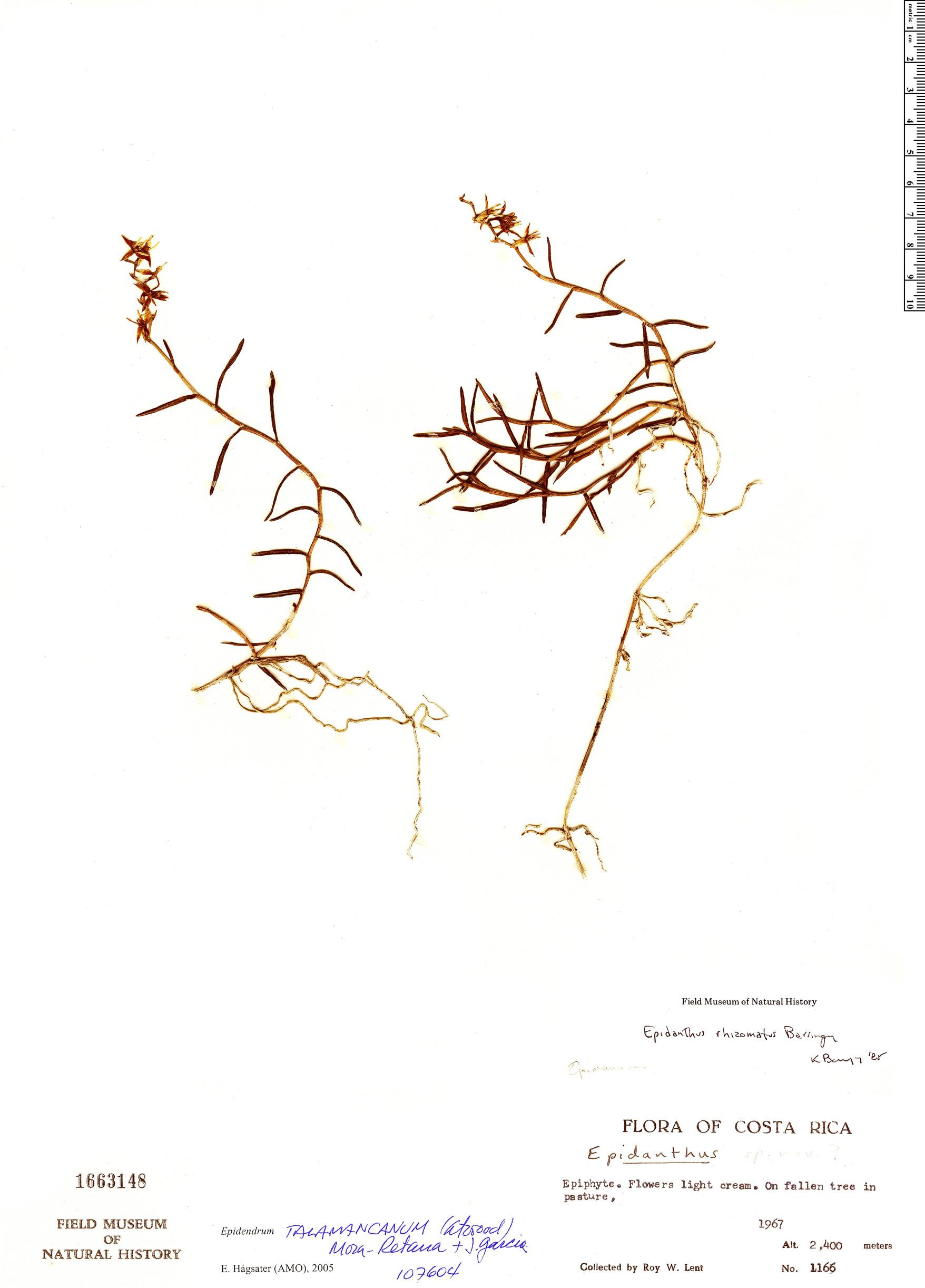 Specimen: Epidendrum talamancanum