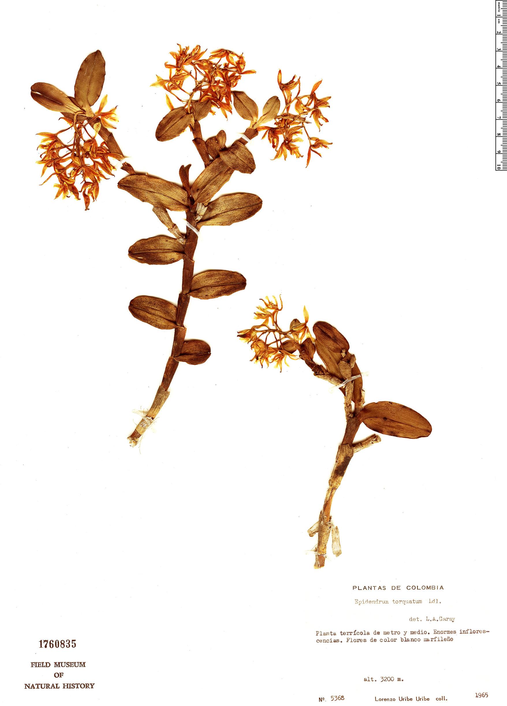 Specimen: Epidendrum torquatum