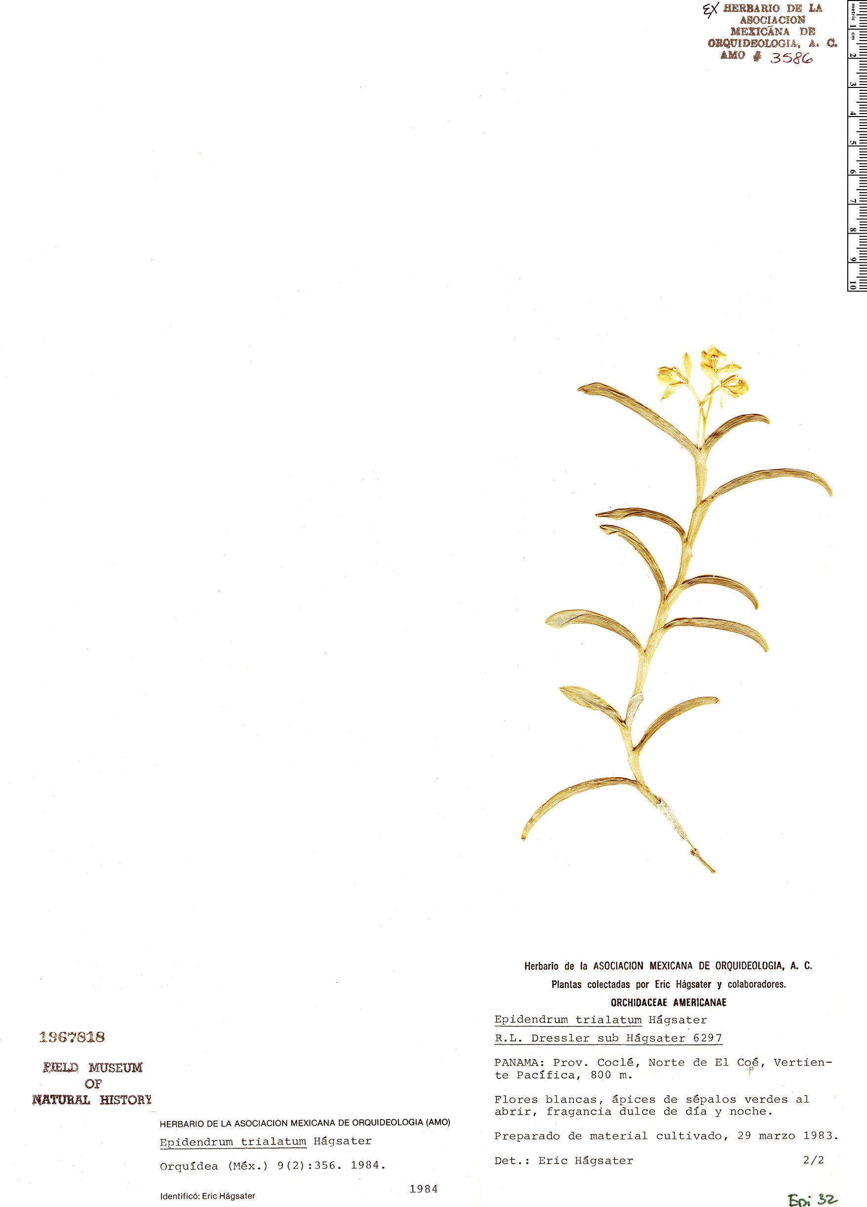 Specimen: Epidendrum trialatum