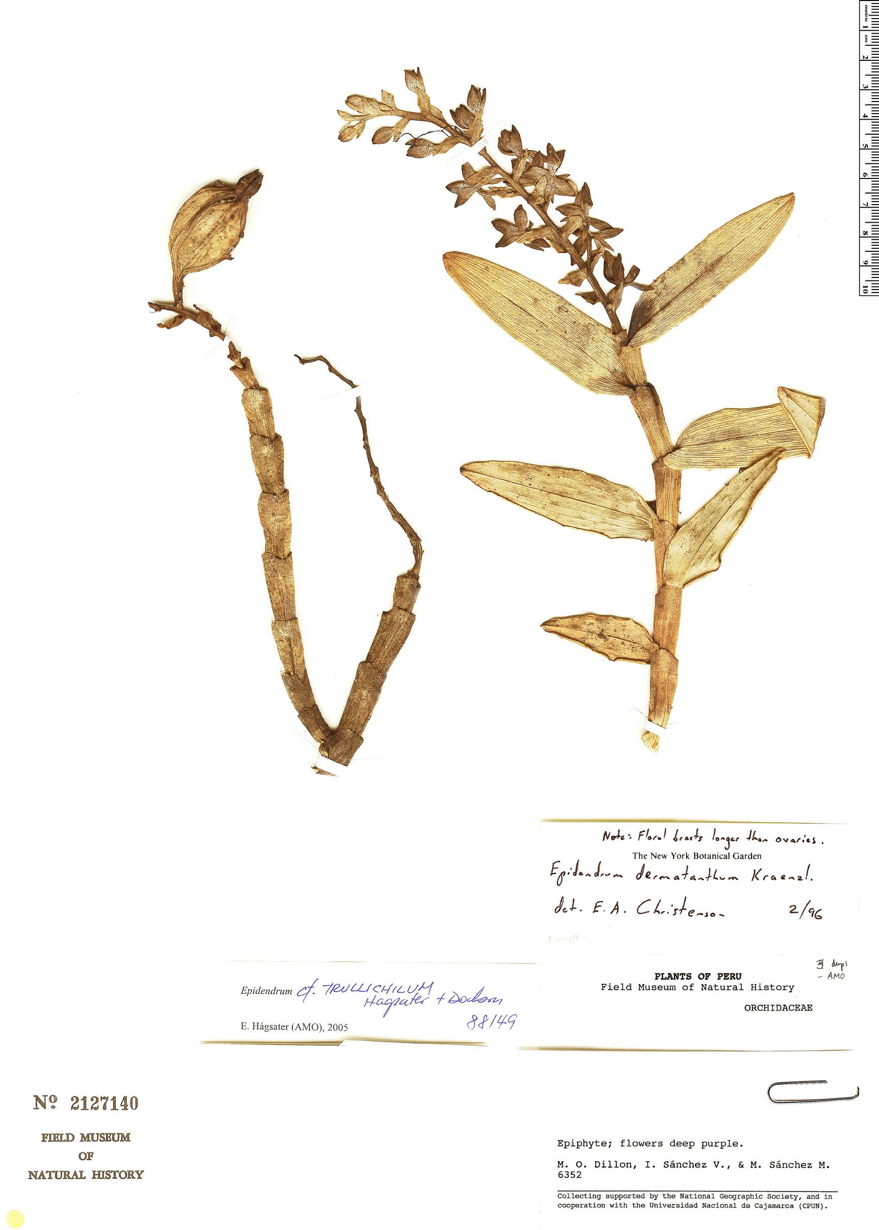 Specimen: Epidendrum trullichilum