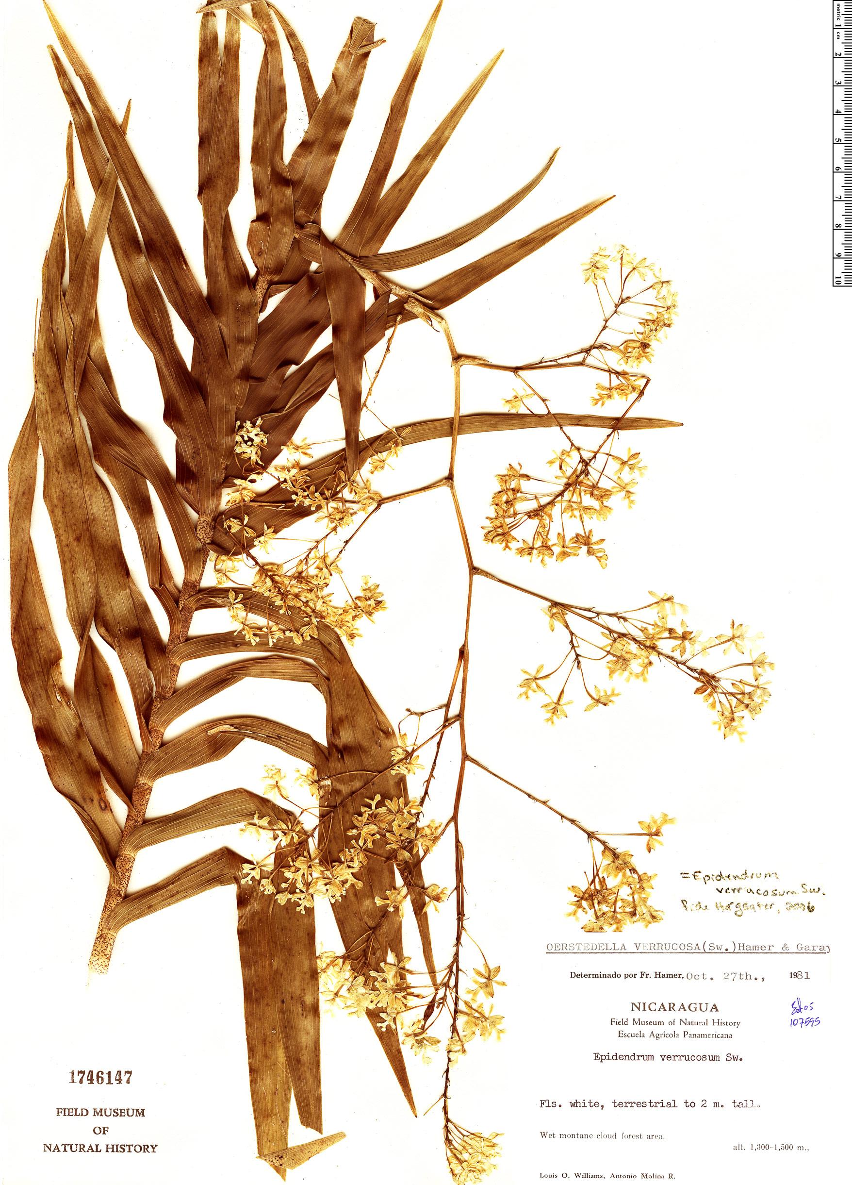 Espécime: Epidendrum verrucosum