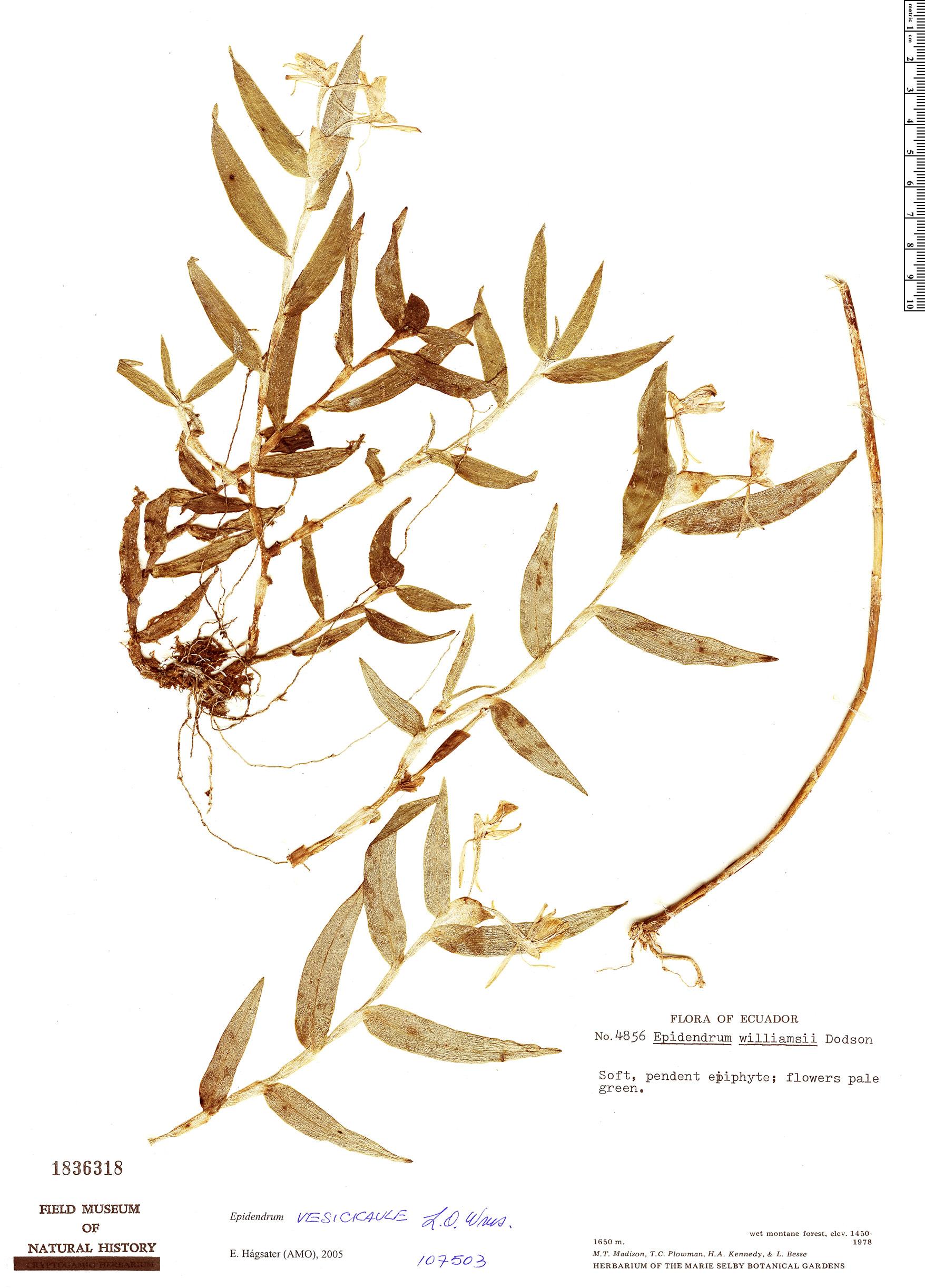 Specimen: Epidendrum vesicicaule
