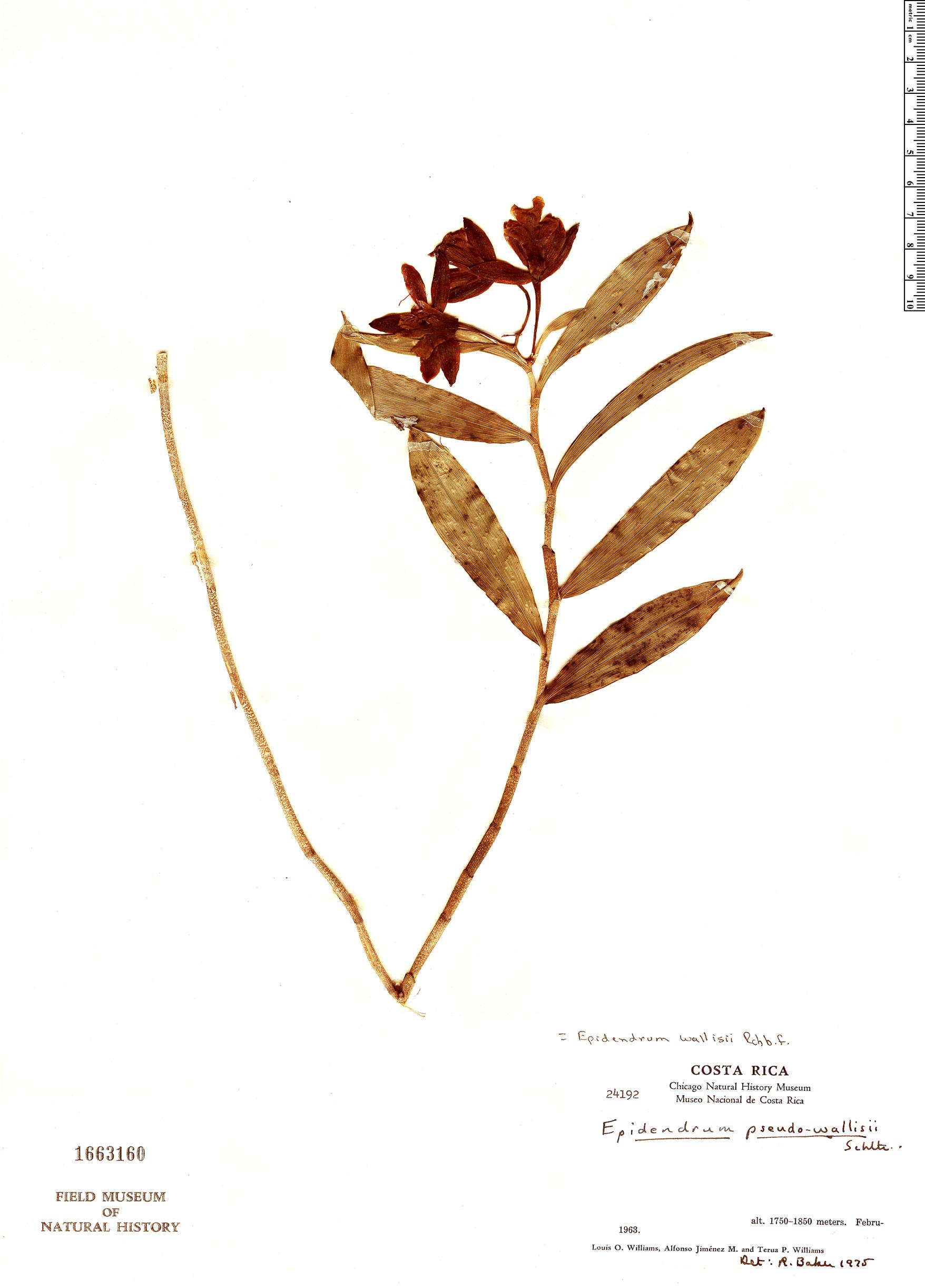 Specimen: Oerstedella wallisii