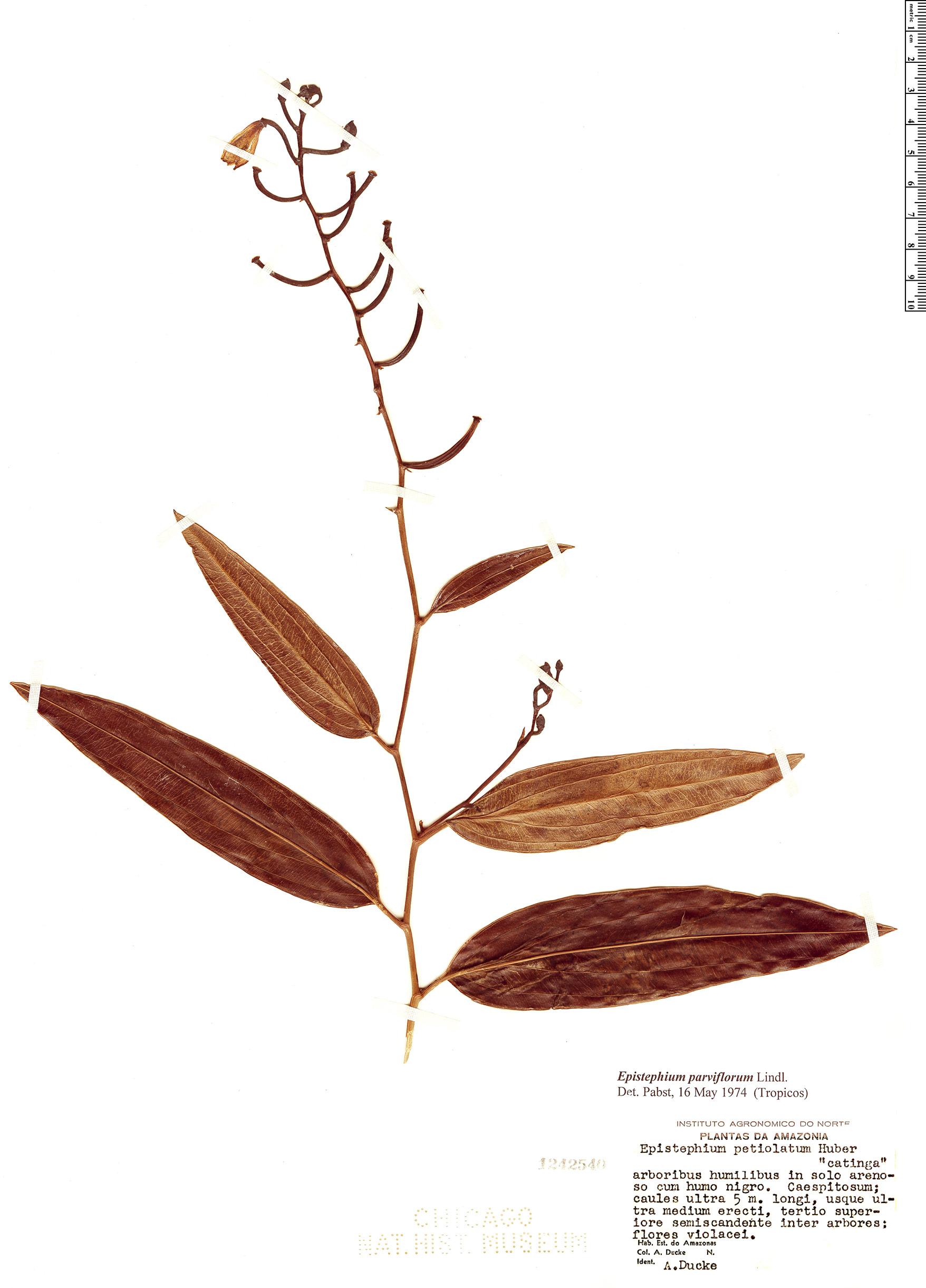 Specimen: Epistephium parviflorum