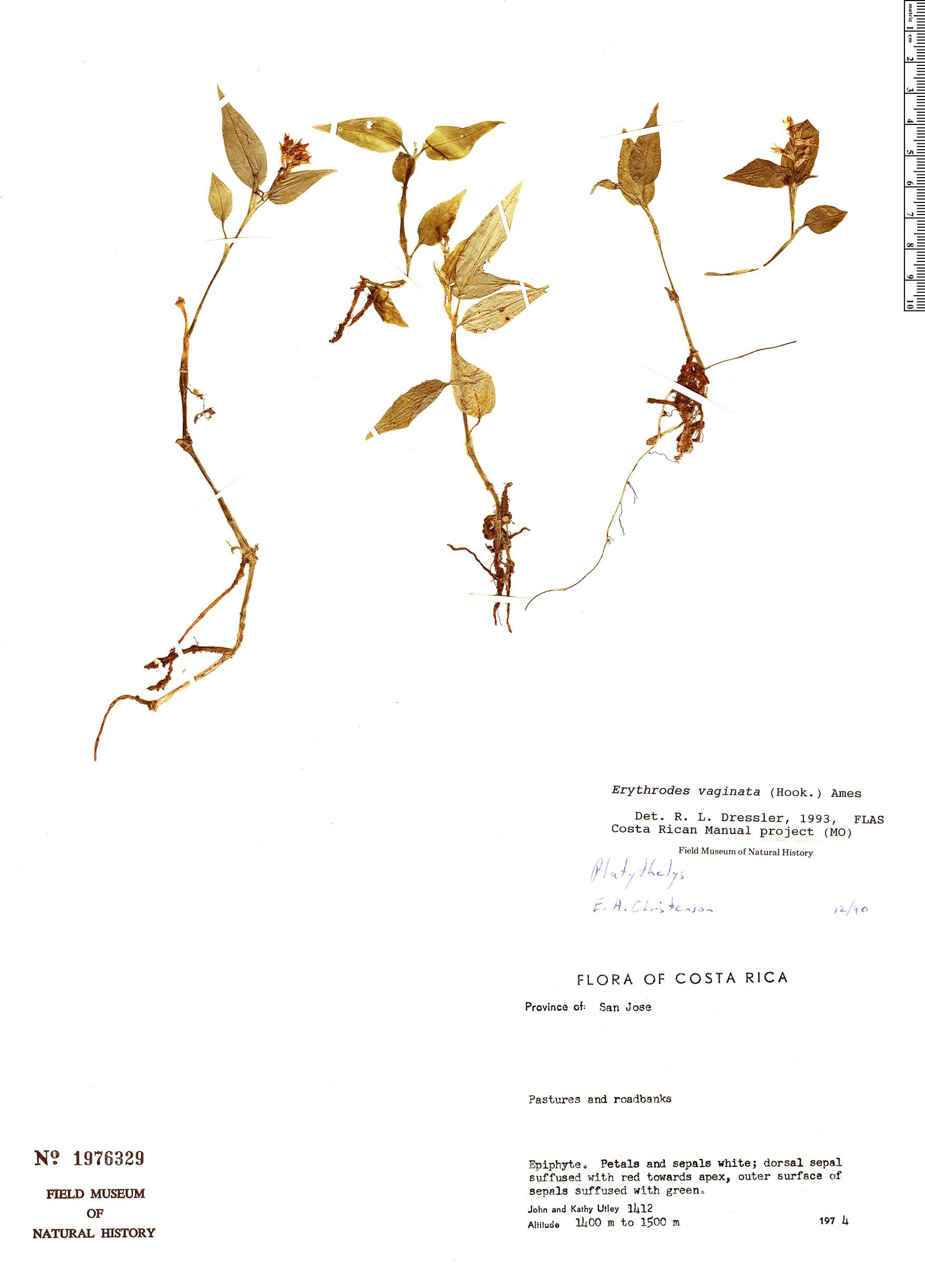 Specimen: Platythelys vaginata