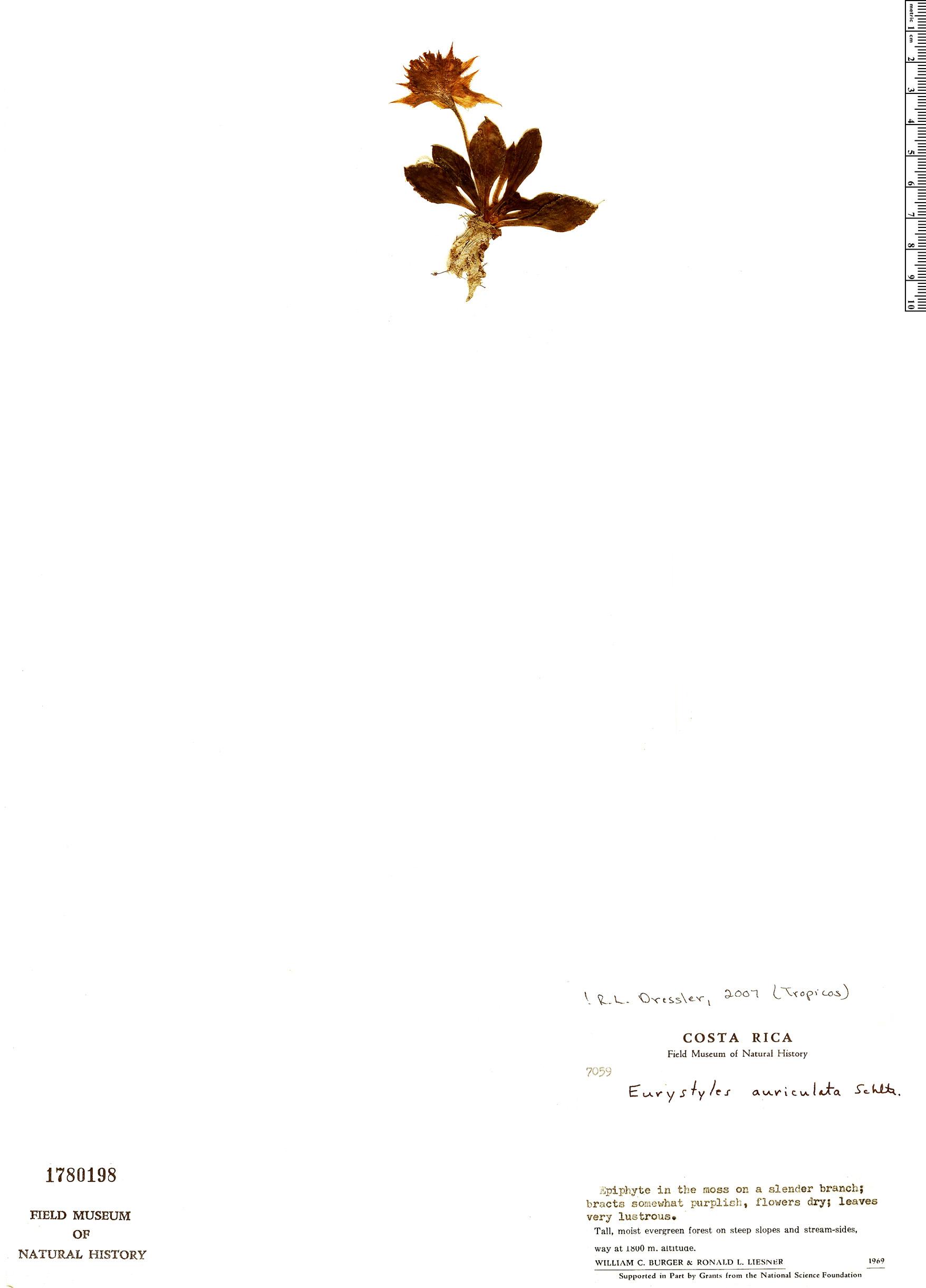 Specimen: Eurystyles auriculata