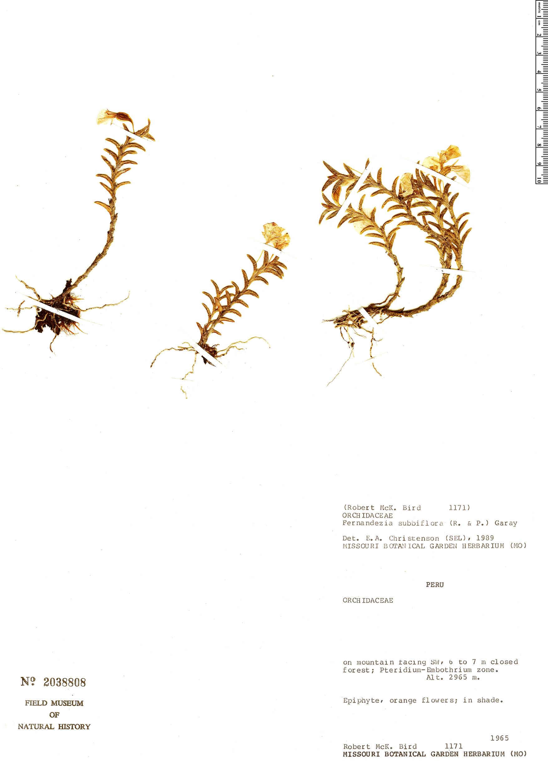 Specimen: Fernandezia subbiflora