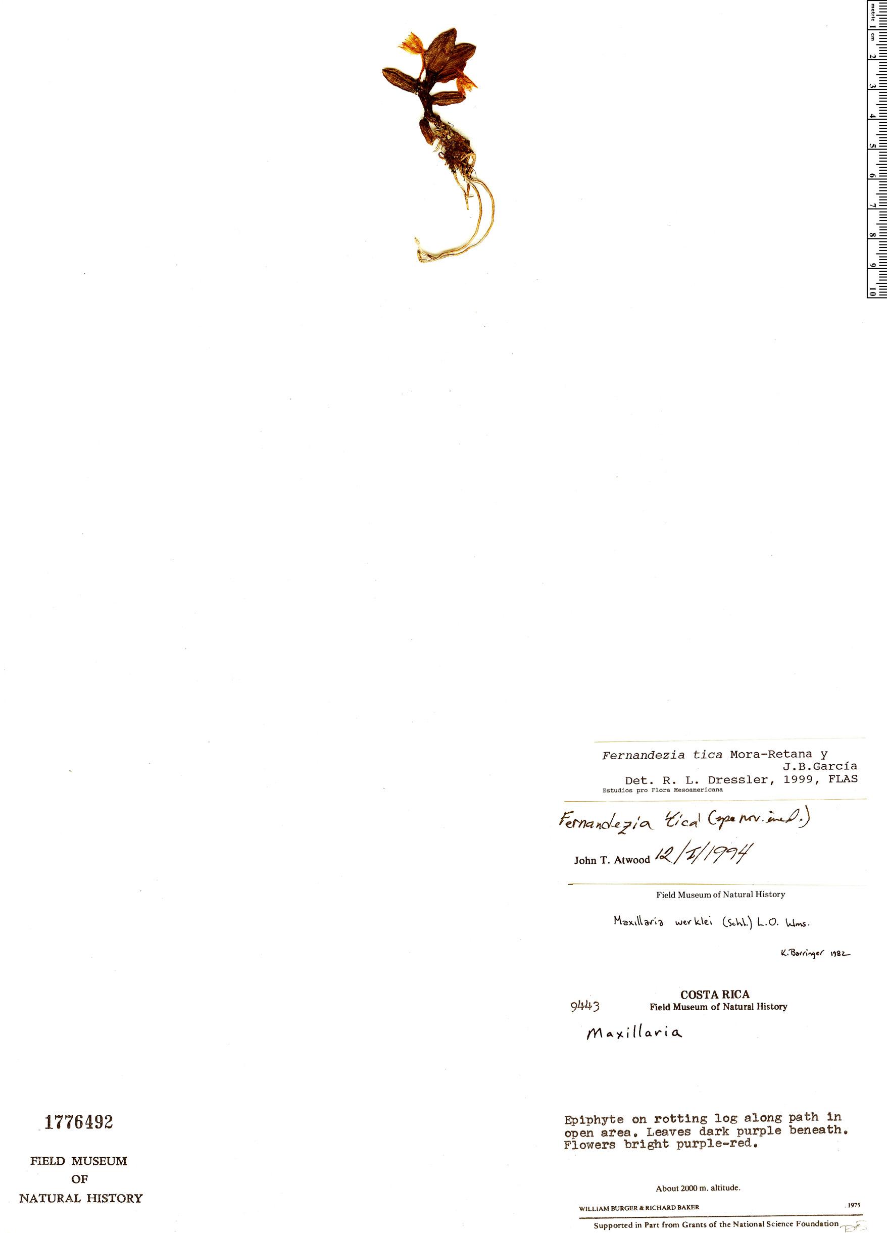 Specimen: Fernandezia tica