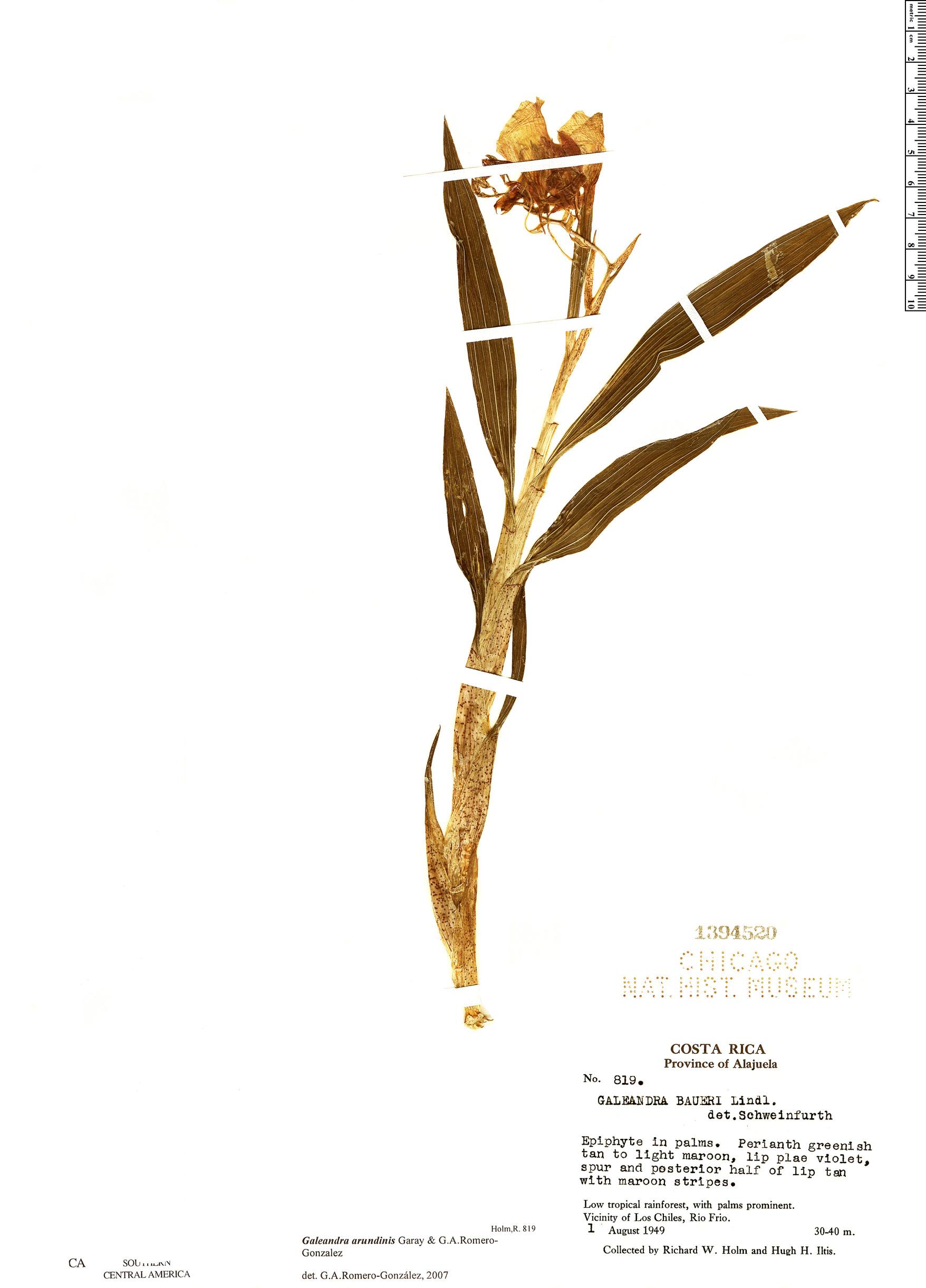 Specimen: Galeandra arundinis