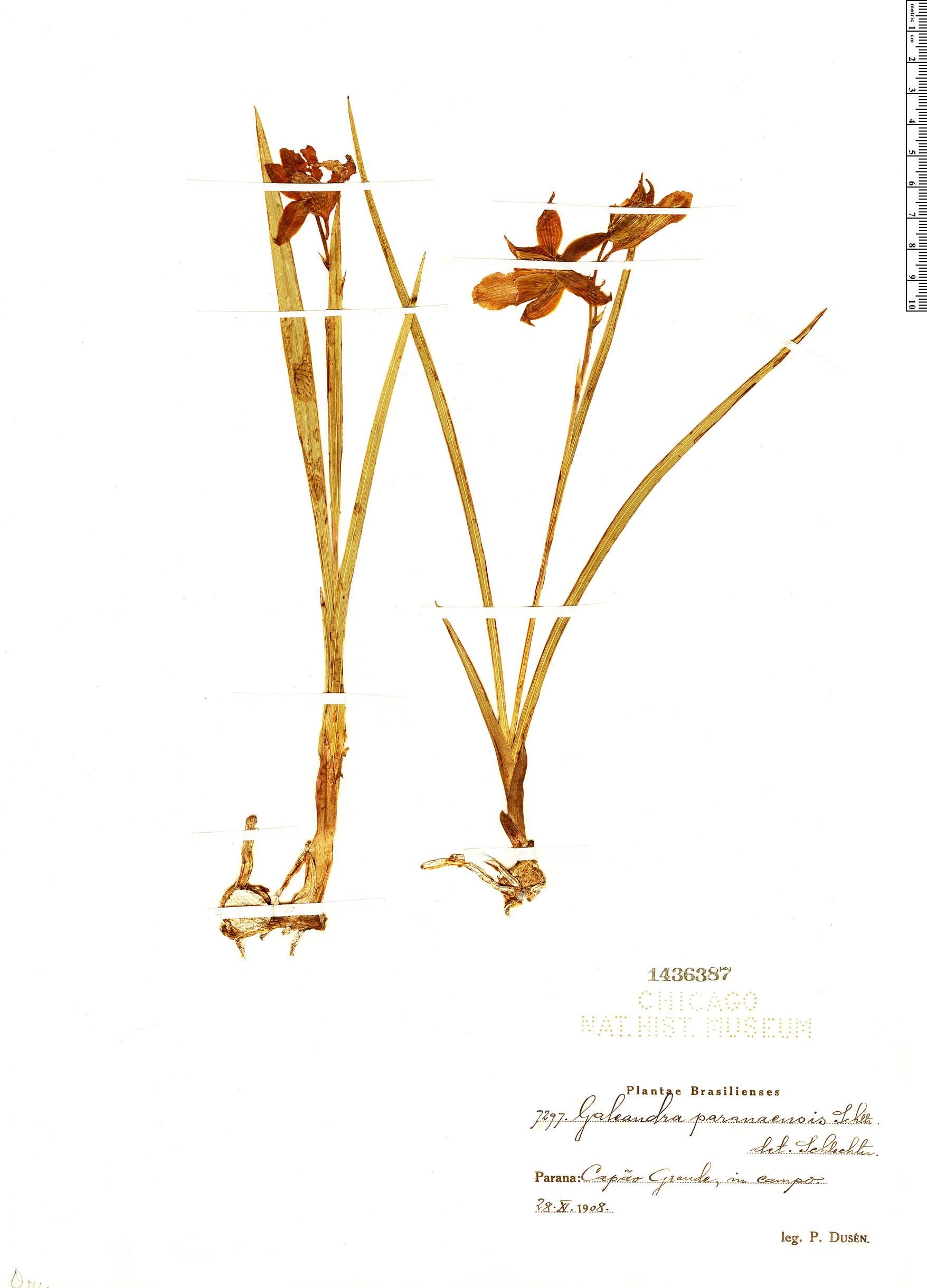 Specimen: Galeandra paraguayensis