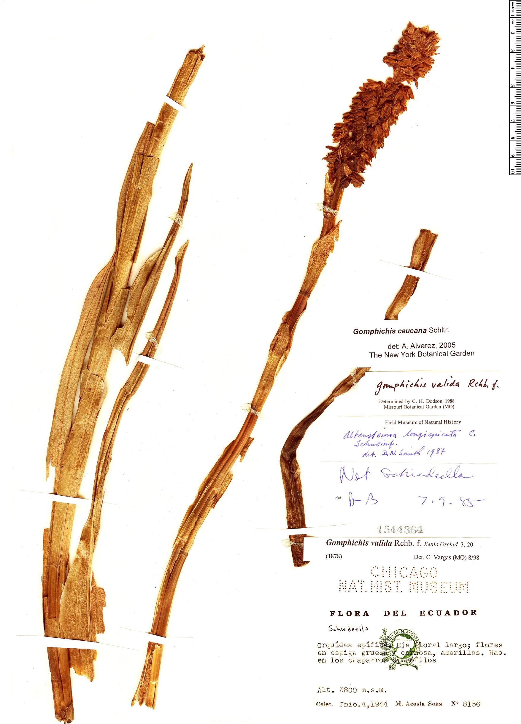 Specimen: Gomphichis caucana