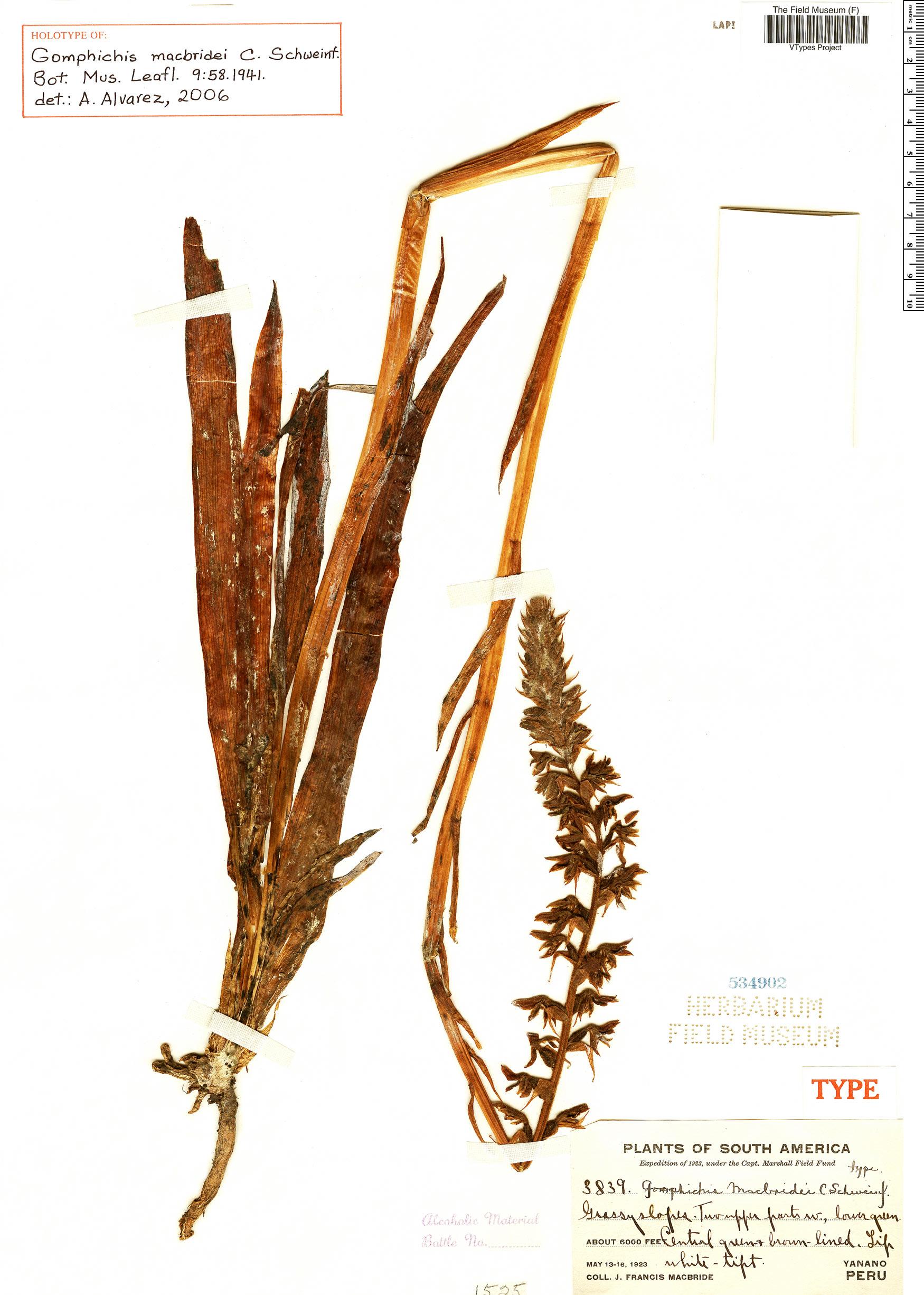 Espécimen: Gomphichis macbridei