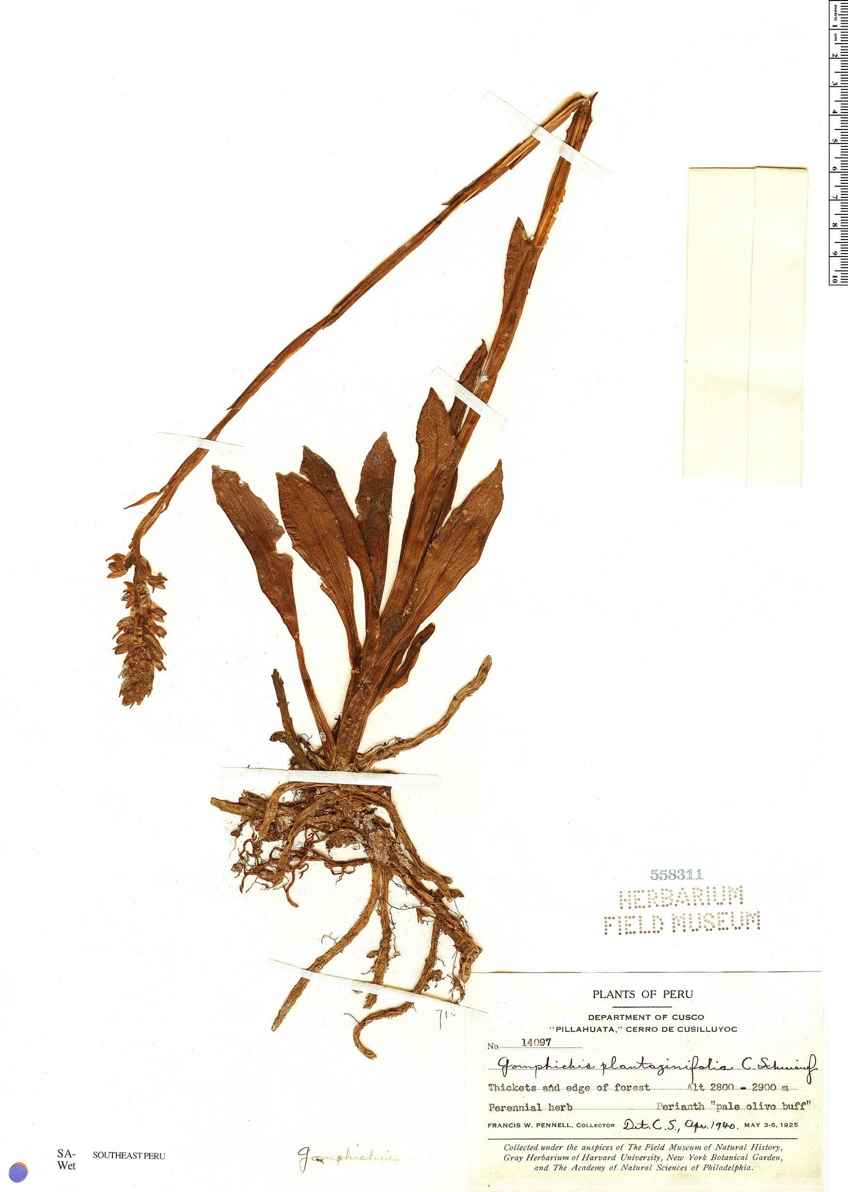 Specimen: Gomphichis plantaginifolia