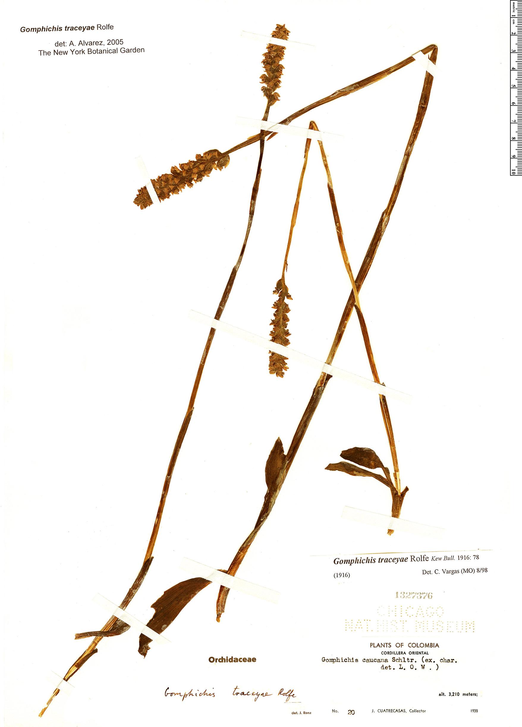 Specimen: Gomphichis traceyae
