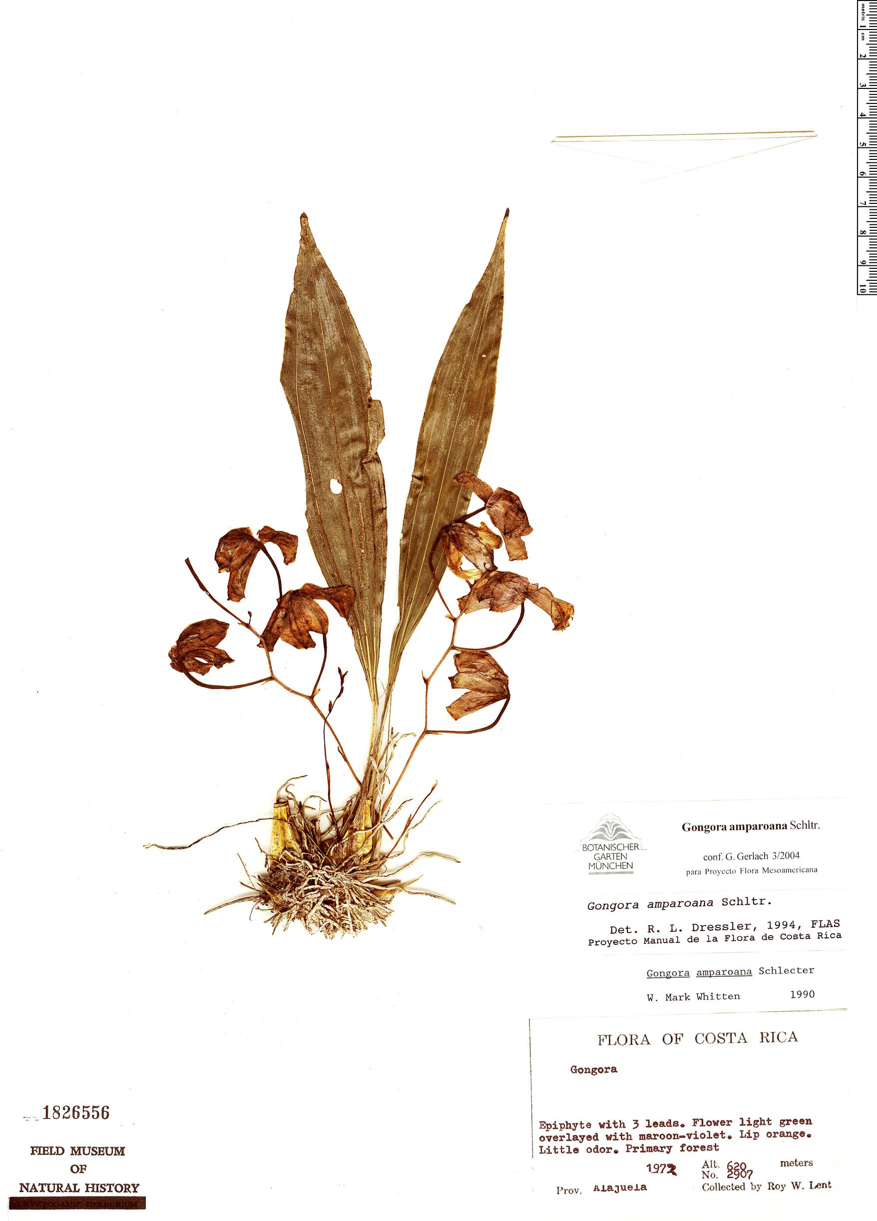 Specimen: Gongora amparoana