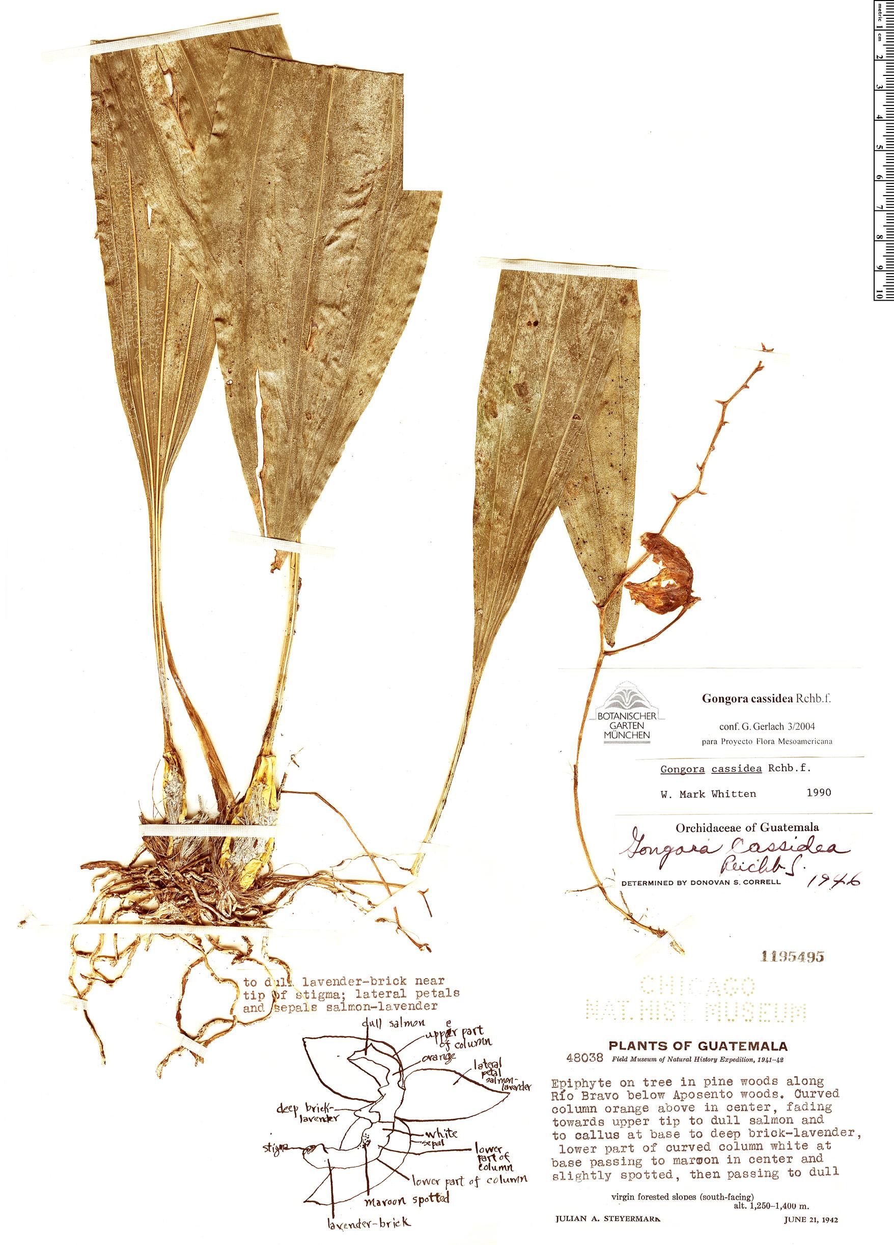Specimen: Gongora cassidea