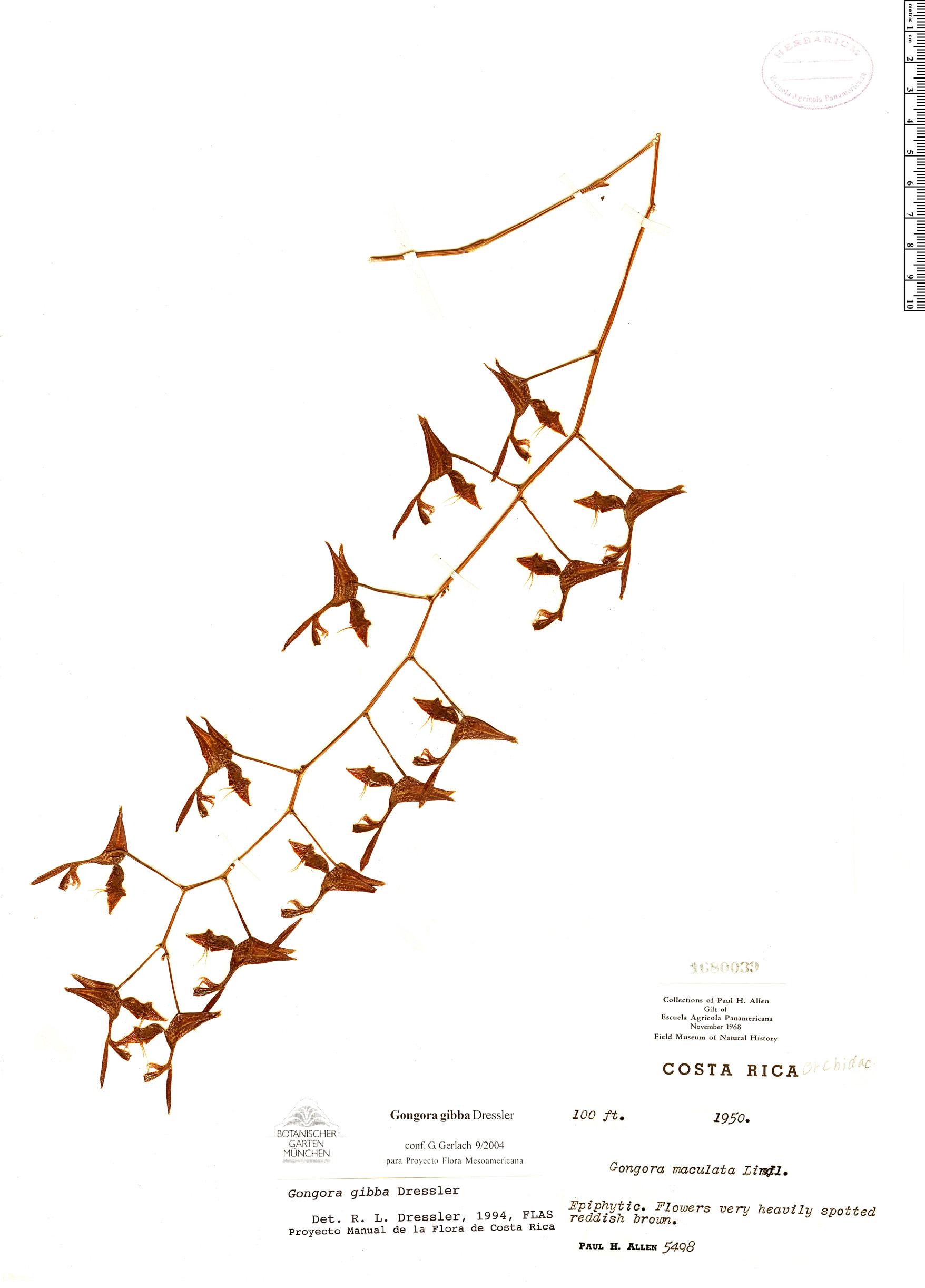 Specimen: Gongora gibba