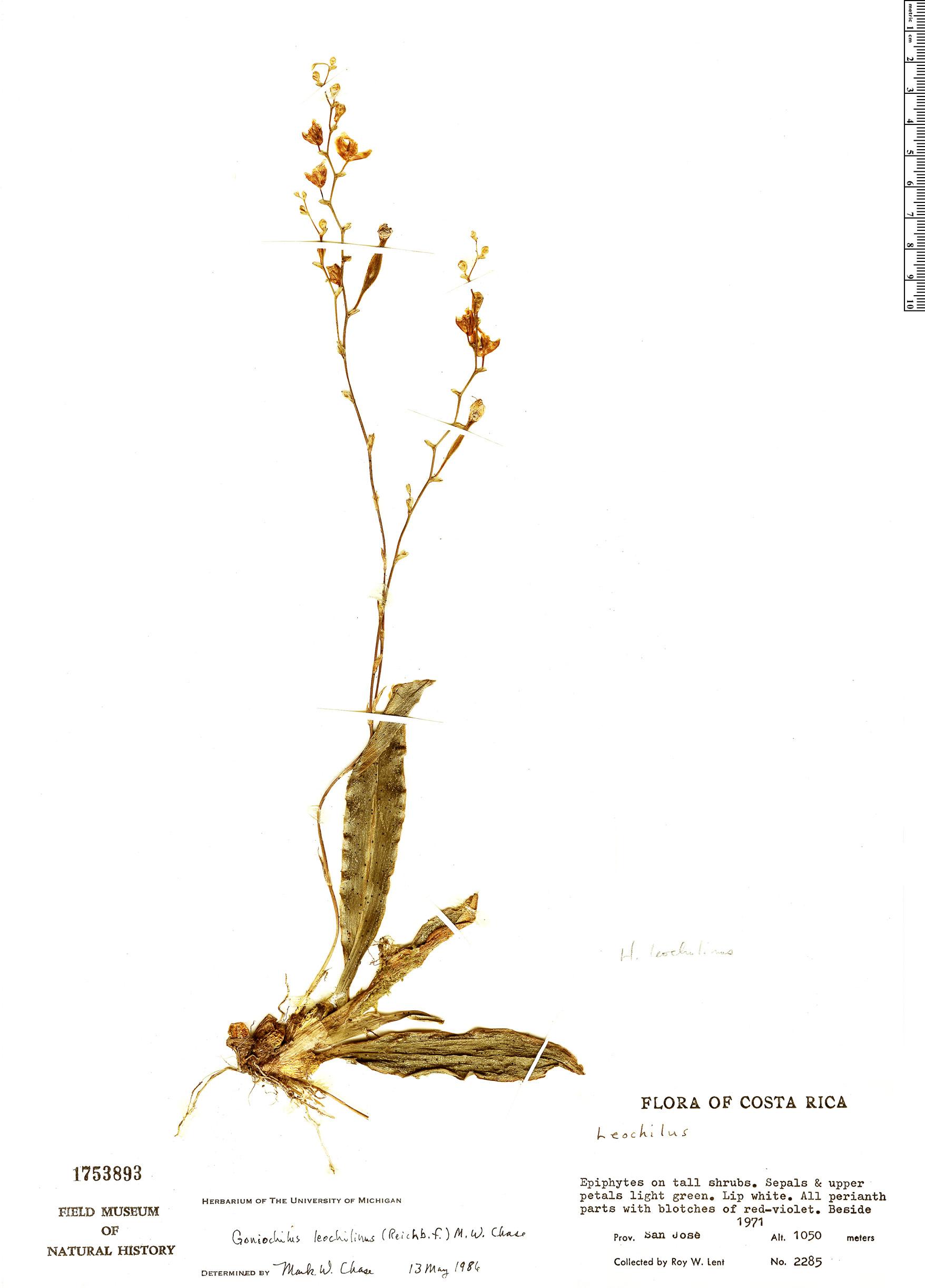 Specimen: Goniochilus leochilinus
